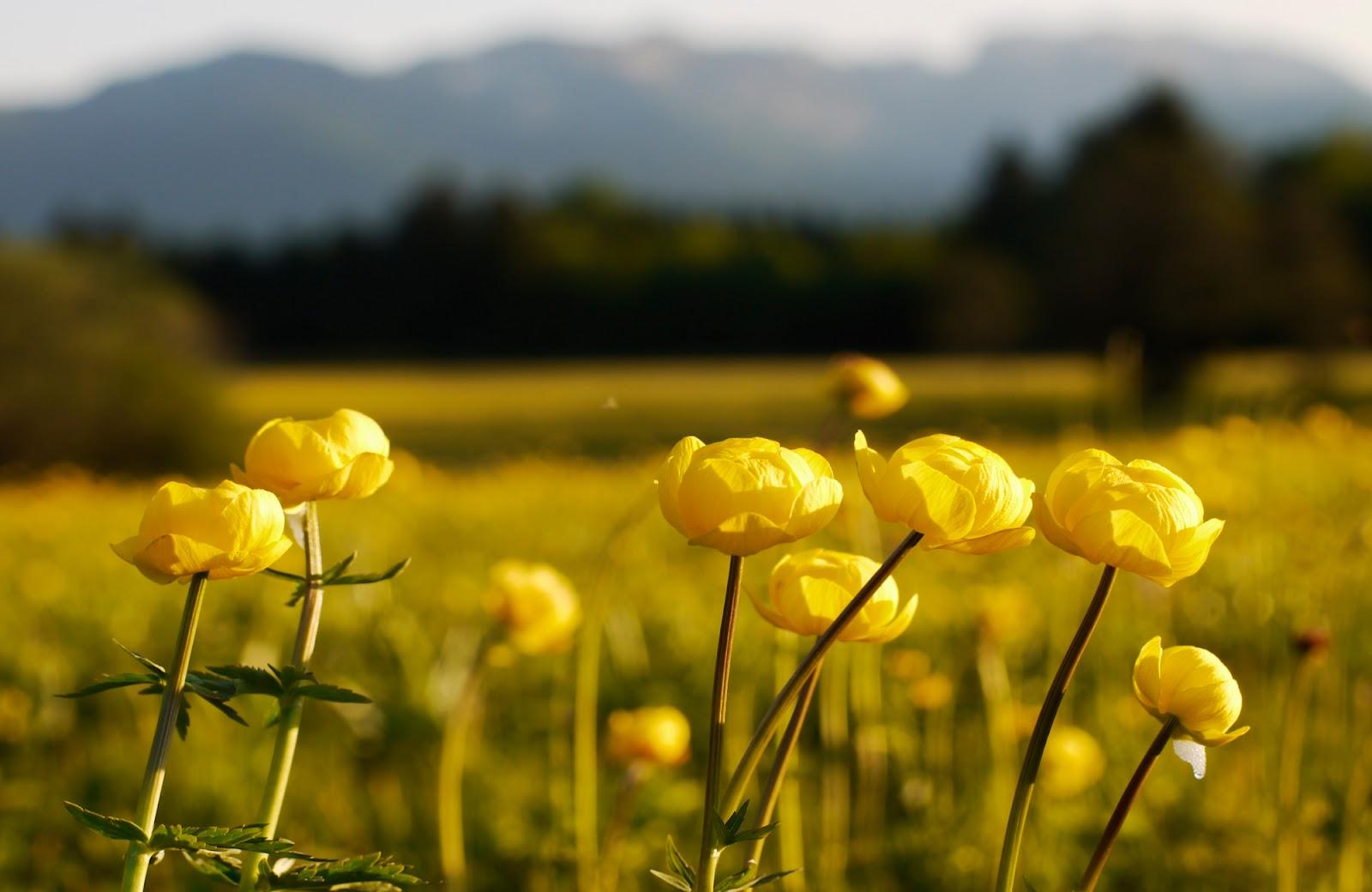 yellow flower meadow 20398