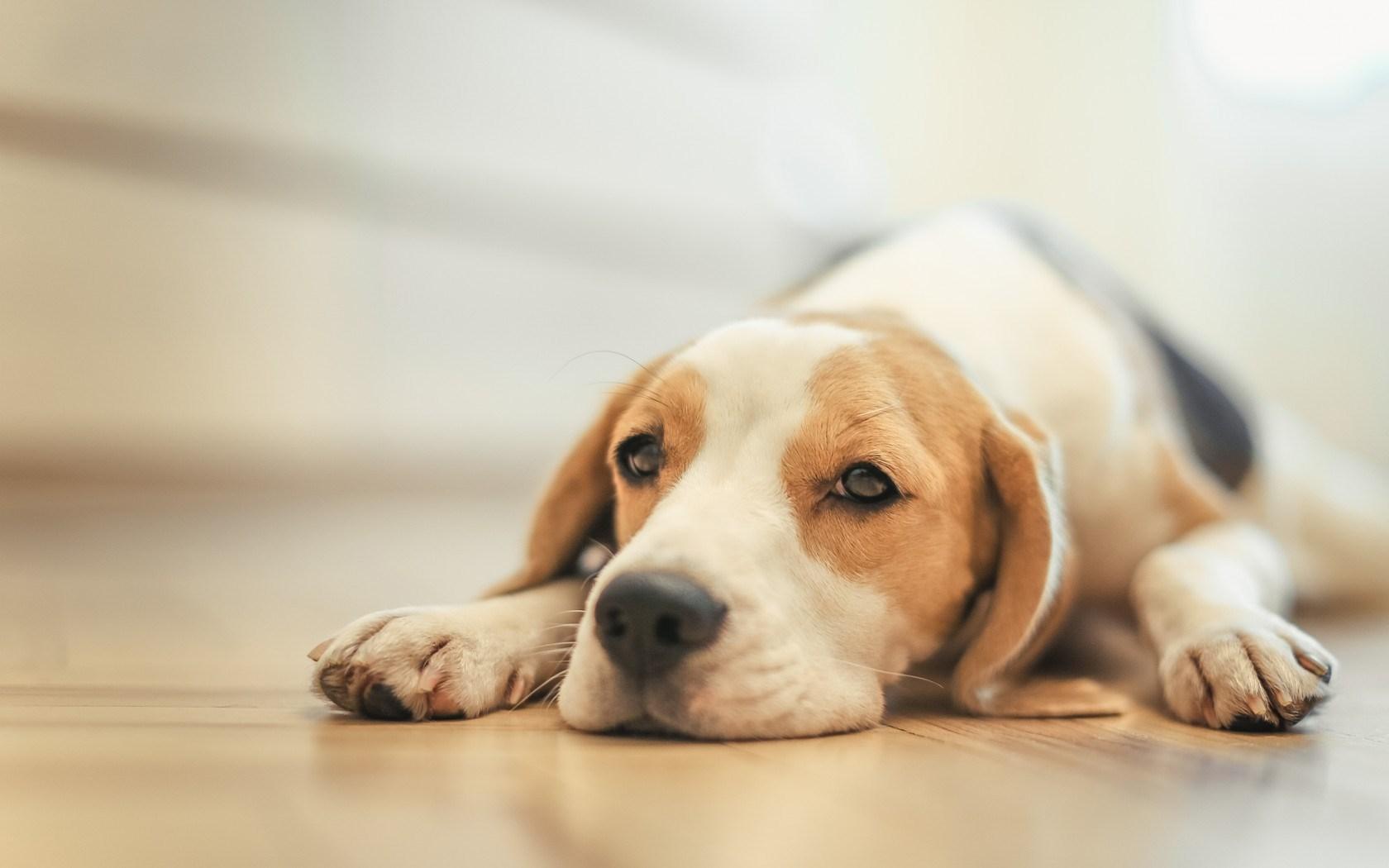 adorable beagle 35343