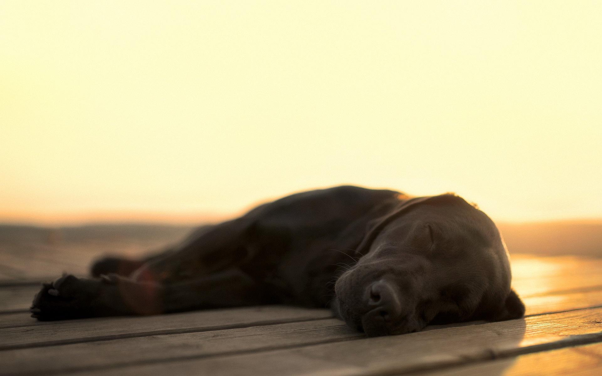 amazing sleeping dog wallpaper 40225