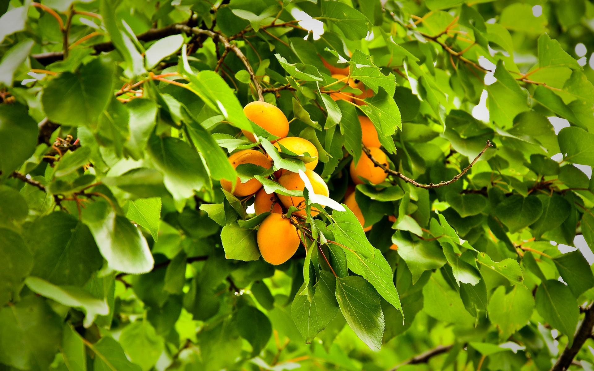 apricot wallpaper 32259