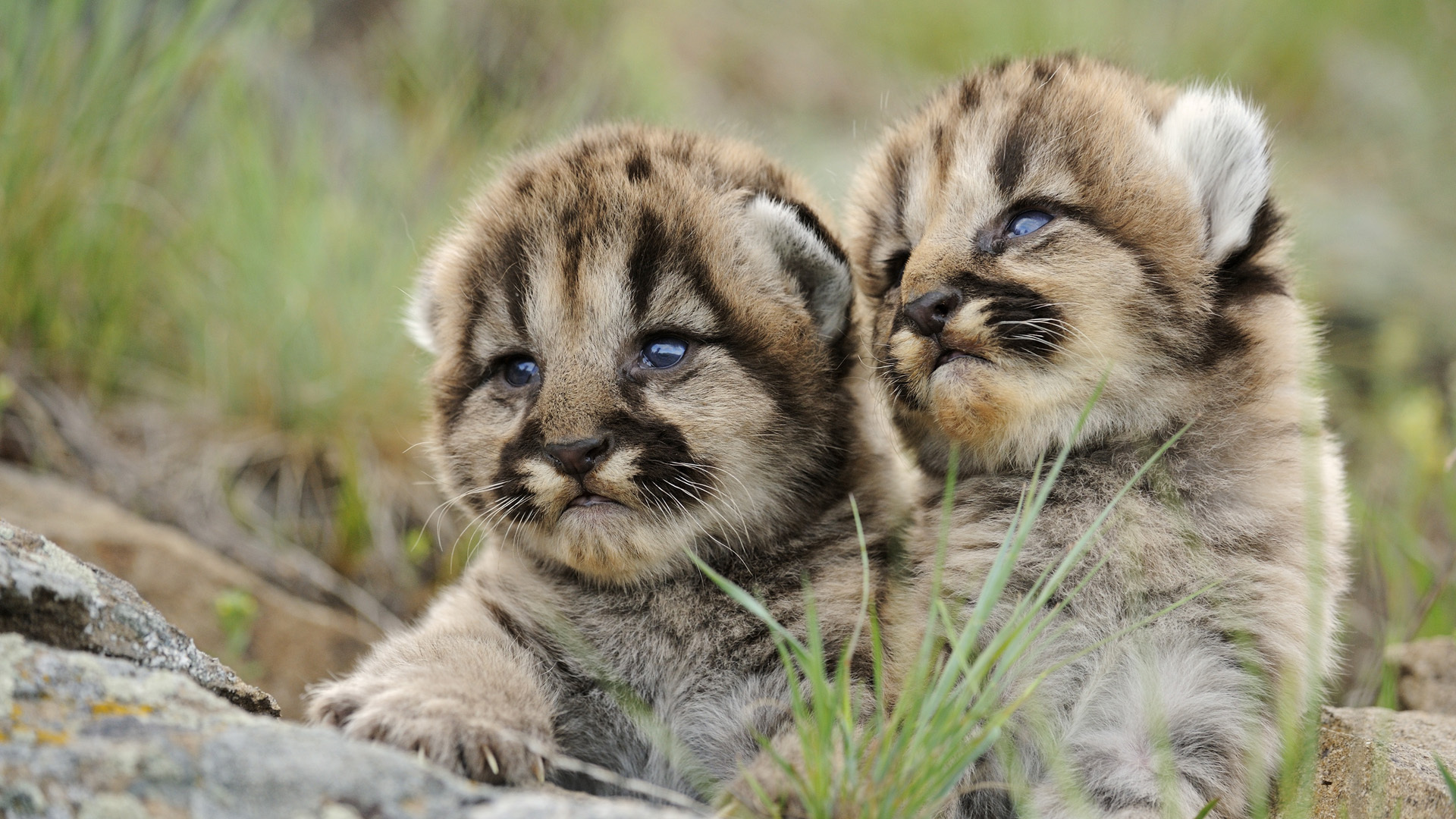 baby cougars 24705