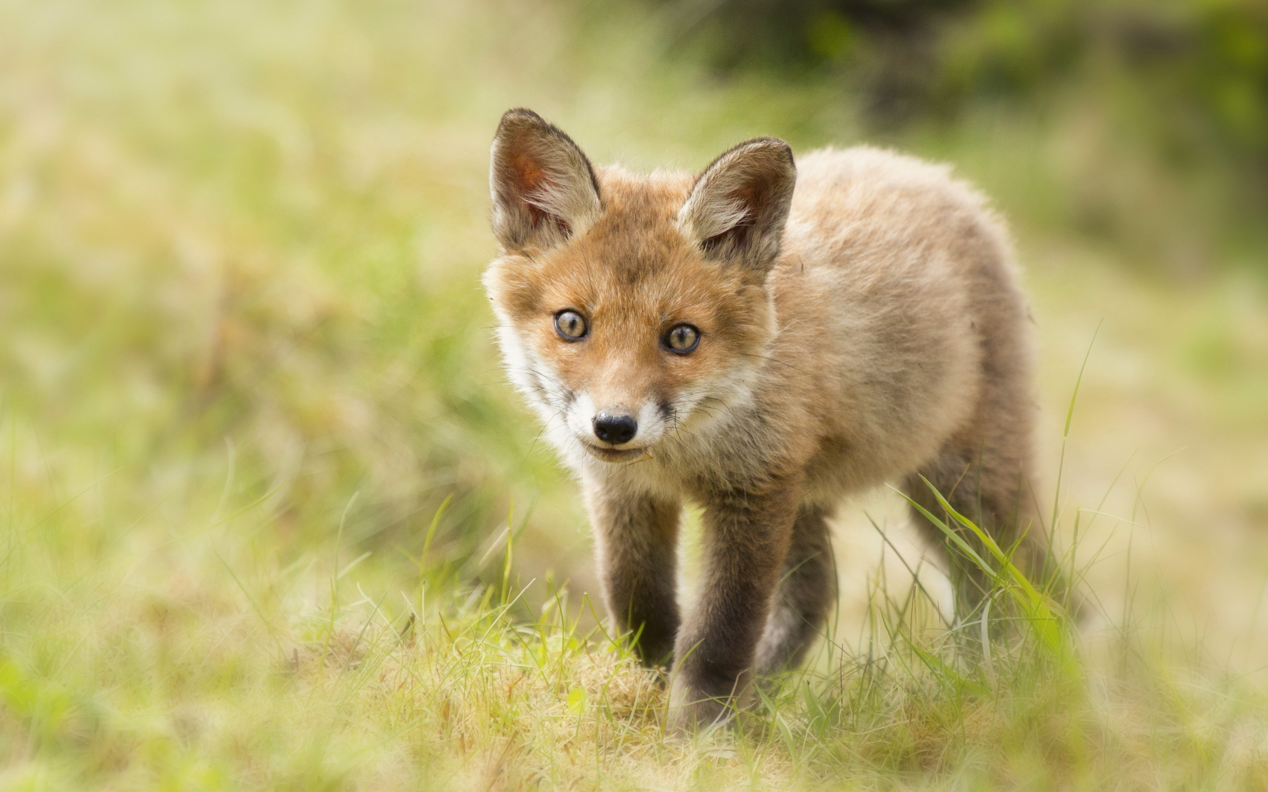 Baby Fox HD 34468 2560x1600 px ~ HDWallSource.com