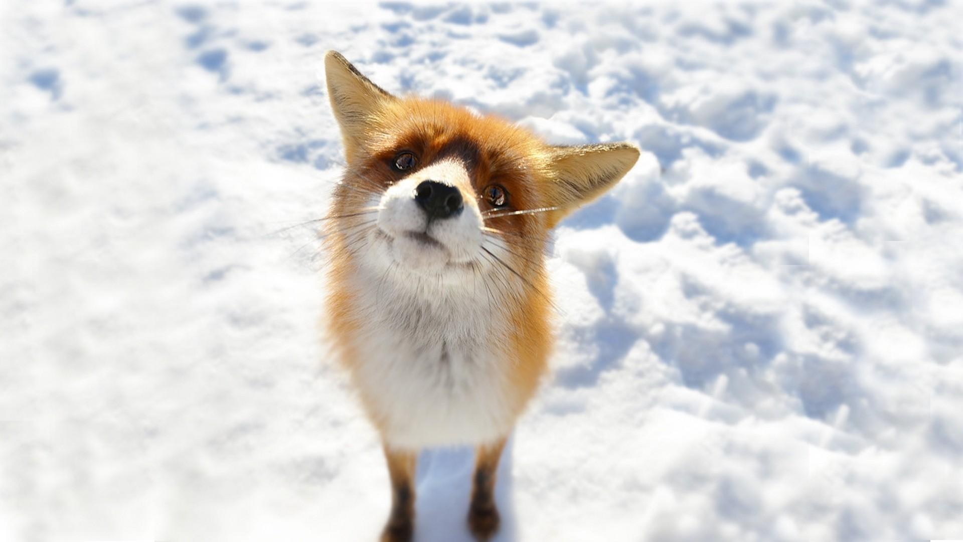 baby fox wallpaper 34470
