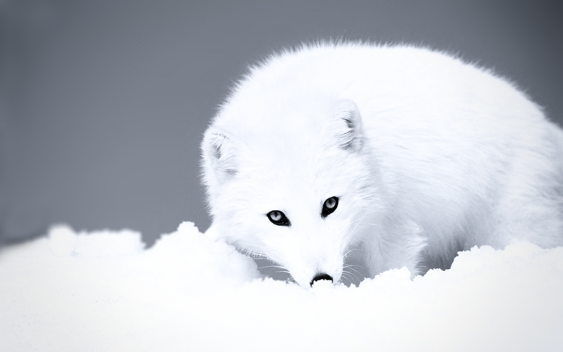 beautiful arctic fox 26662