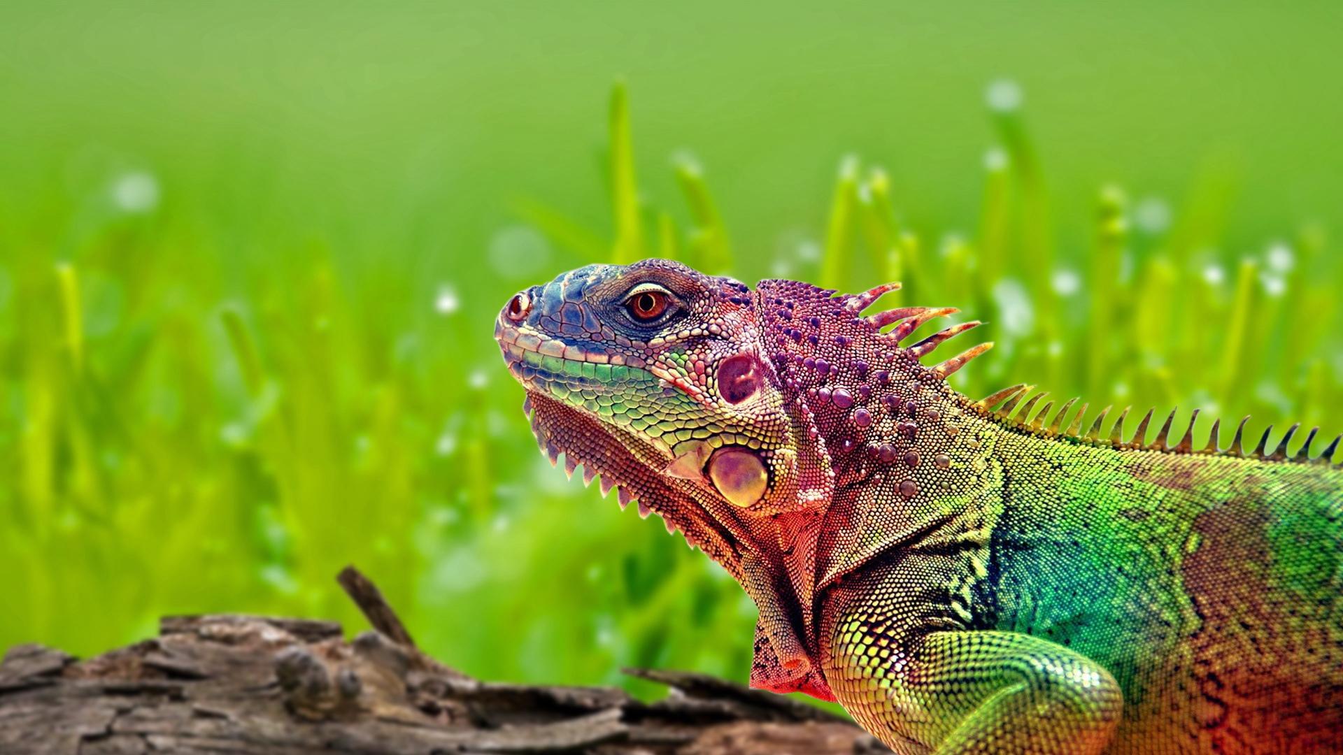 beautiful chameleon wallpaper 23630