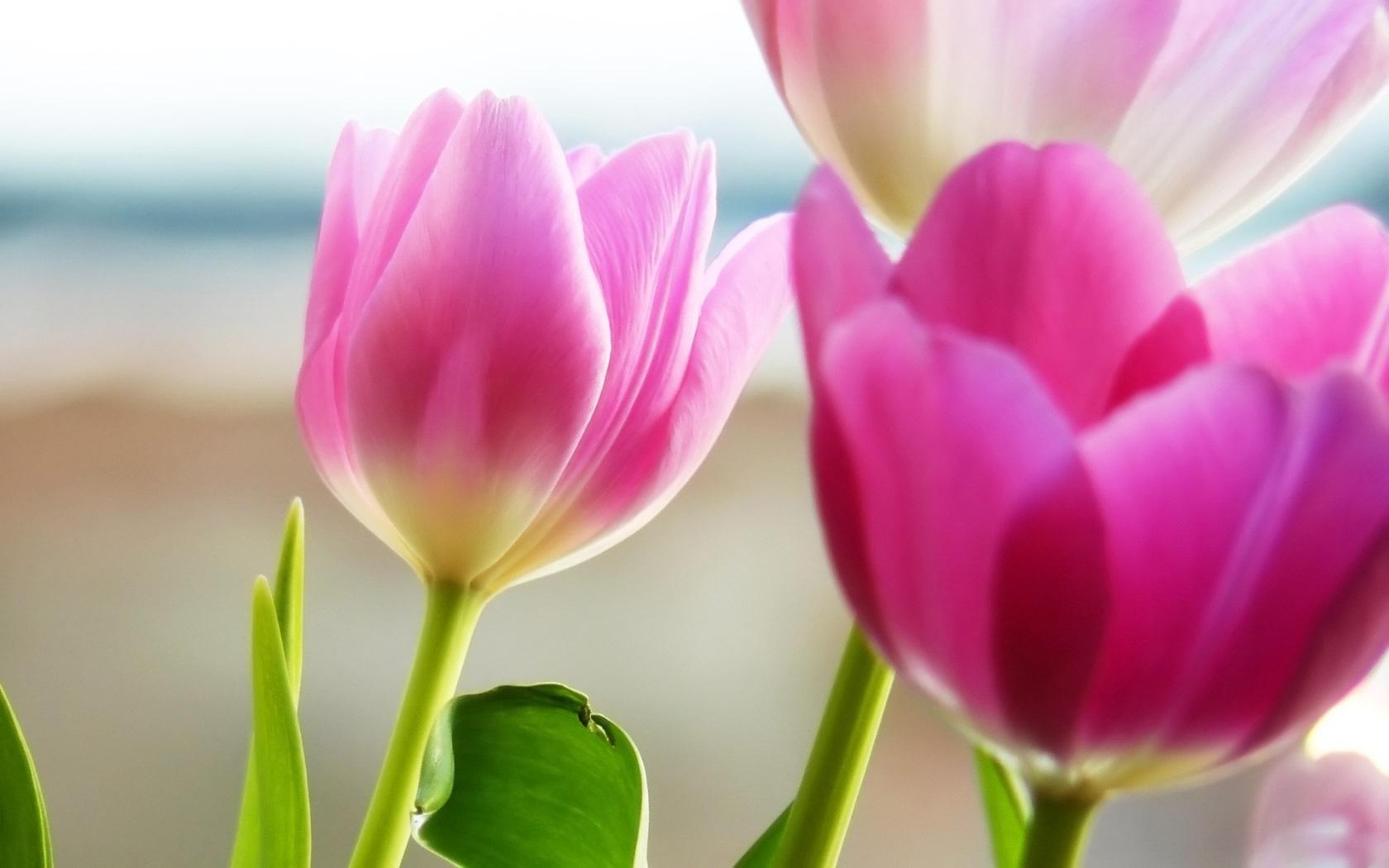 beautiful pink tulips 22689