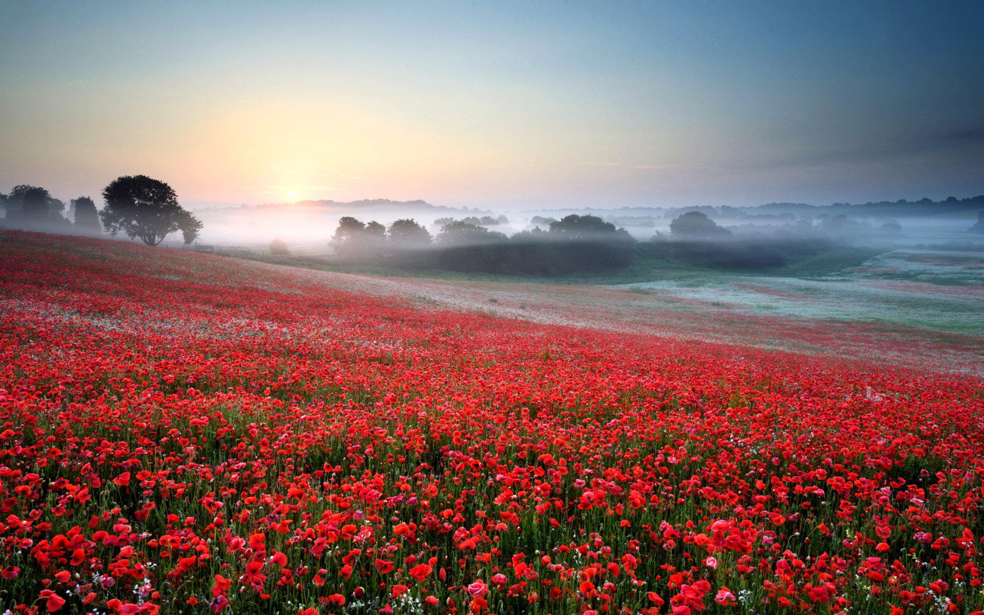 beautiful poppy field 32142
