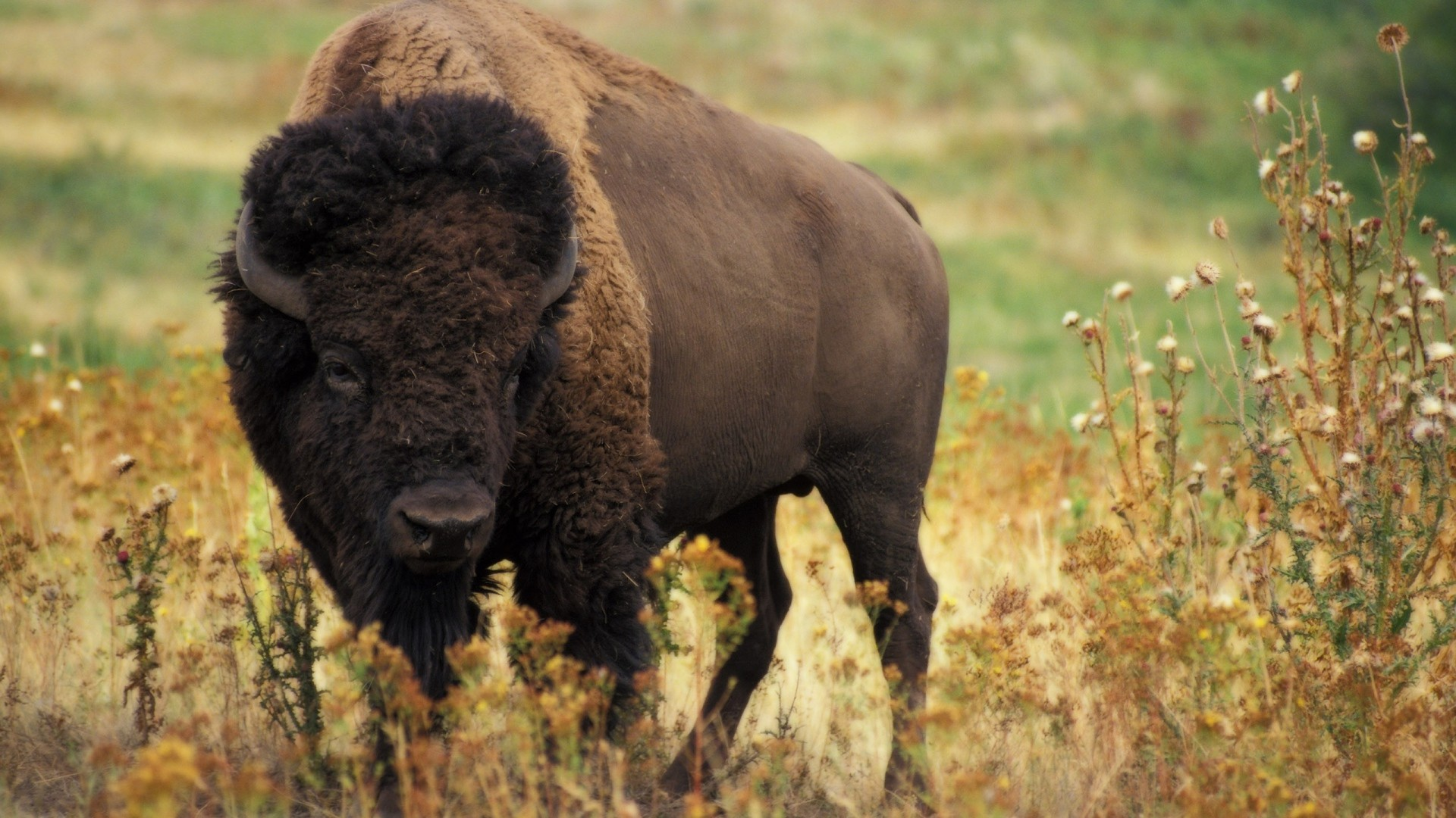Amazing Bison Wallpaper - bison-wallpaper-hd-30865-31594-hd-wallpapers  Gallery_442416.jpg