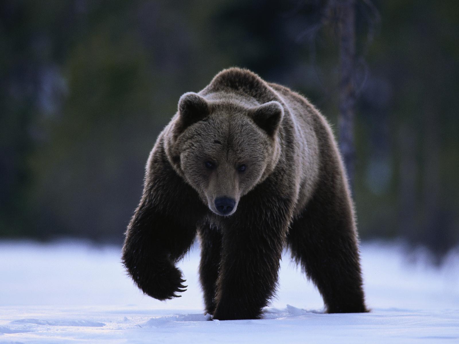 black bear wallpaper 41934