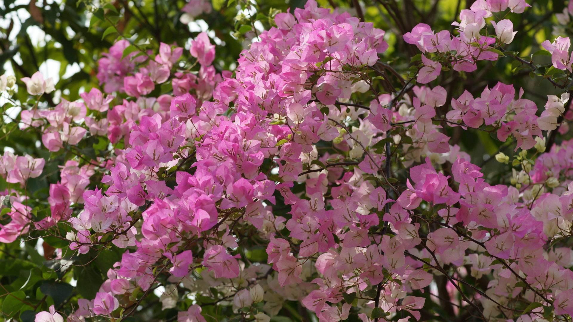 bougainvillea flowers 20208