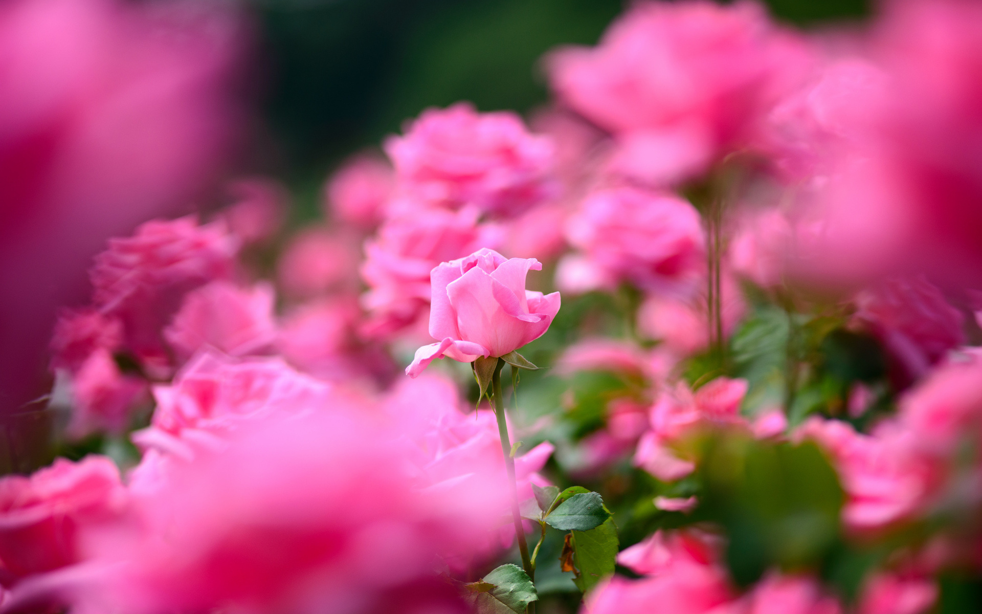 bright pink flowers 27832