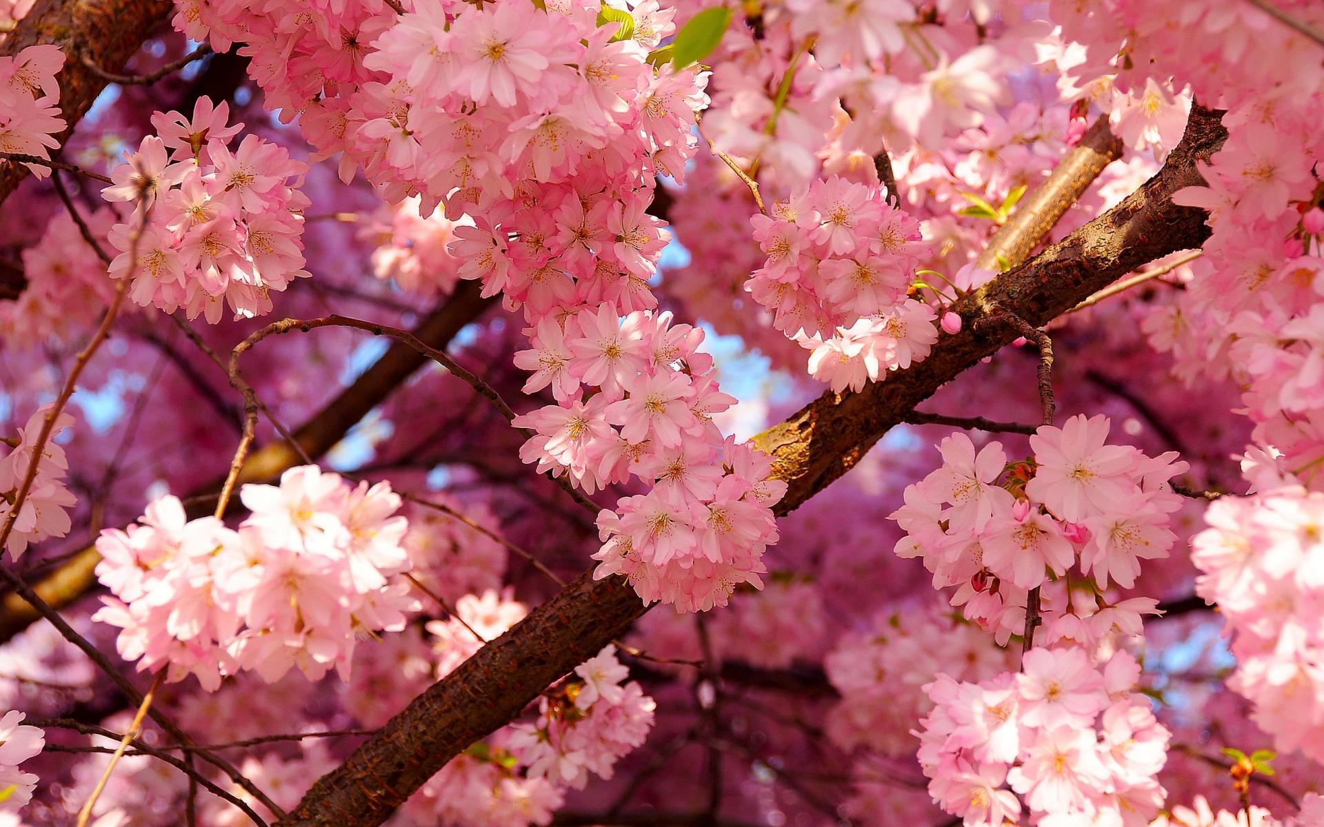 bright pink flowers wallpaper 27823