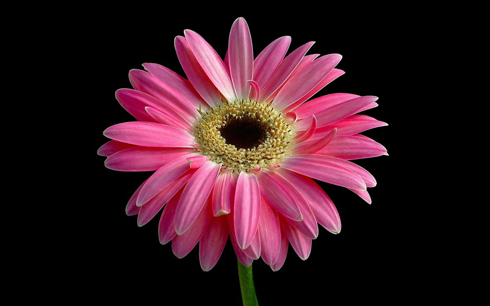 bright pink flowers wallpaper 27833