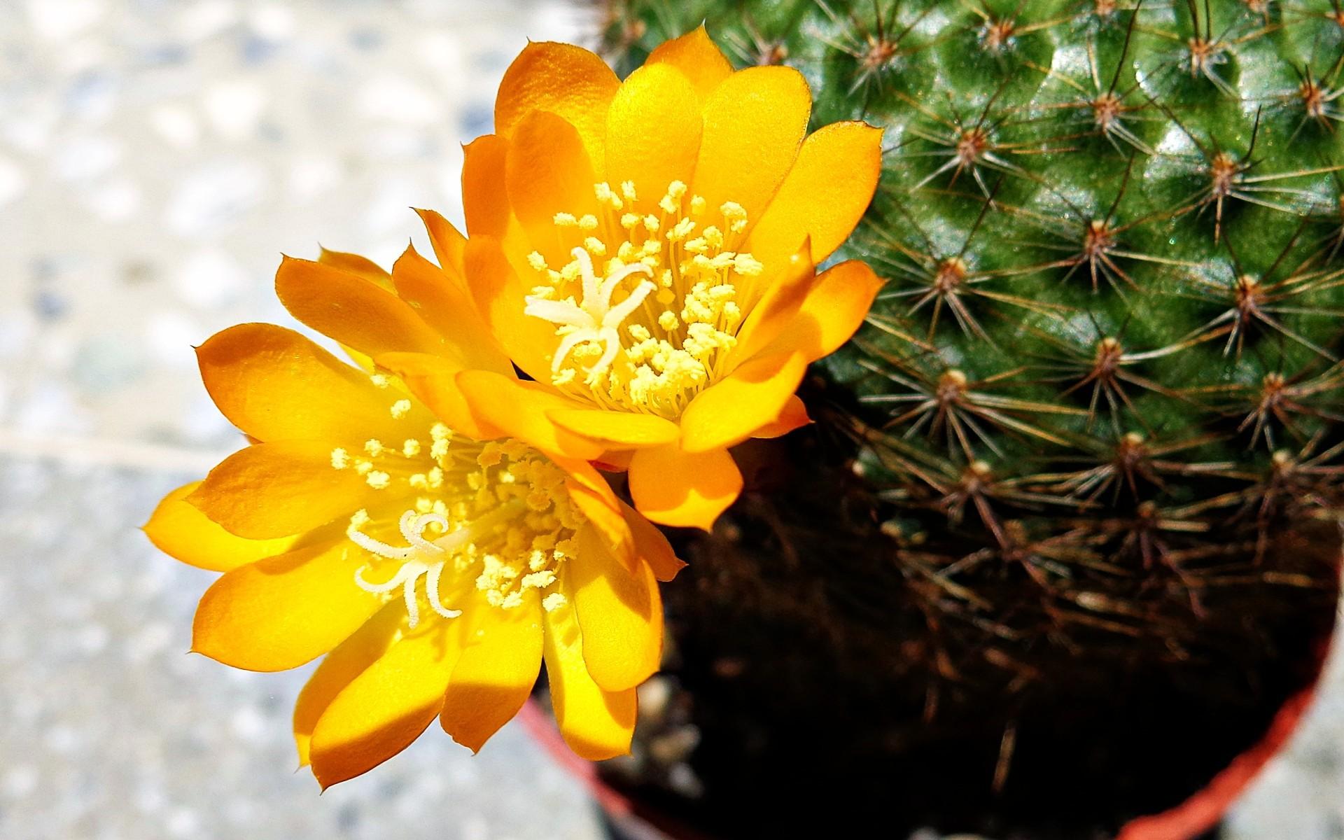 cactus flower wallpaper 16616