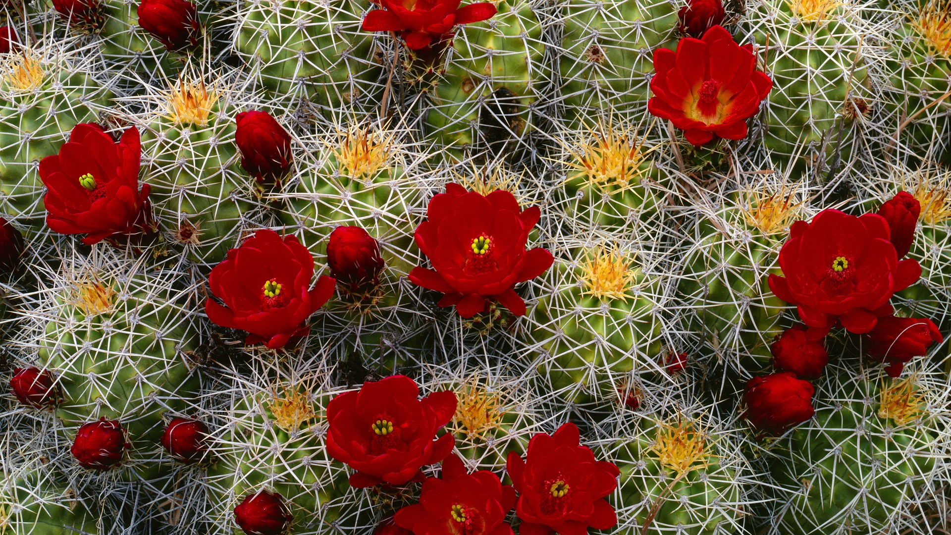 cactus wallpaper 16615