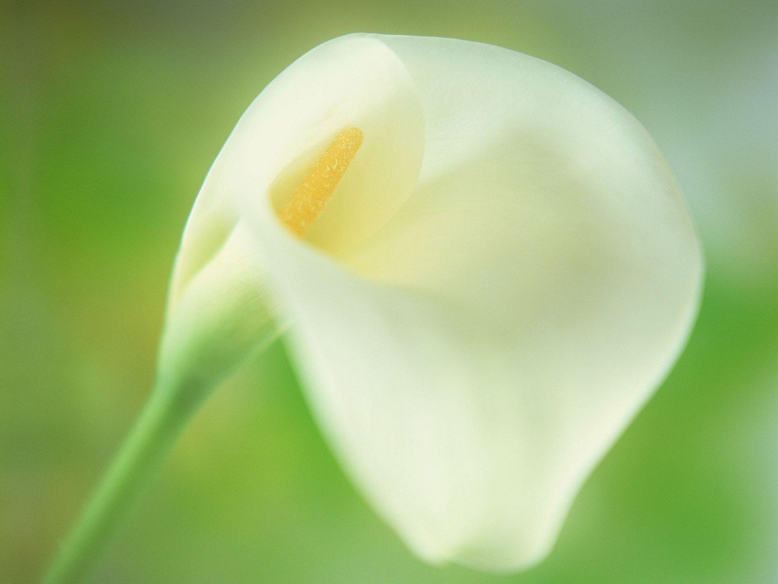 calla lilies 21010