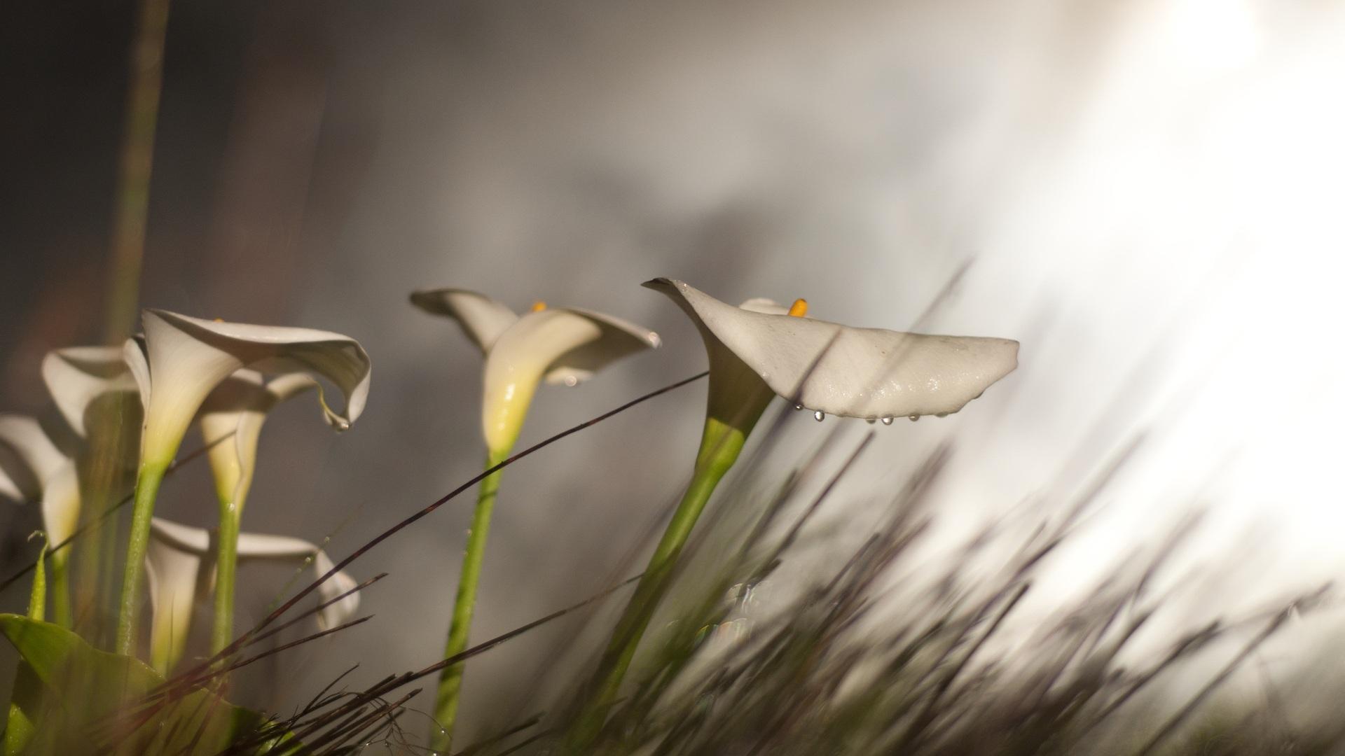 calla lilies 21014