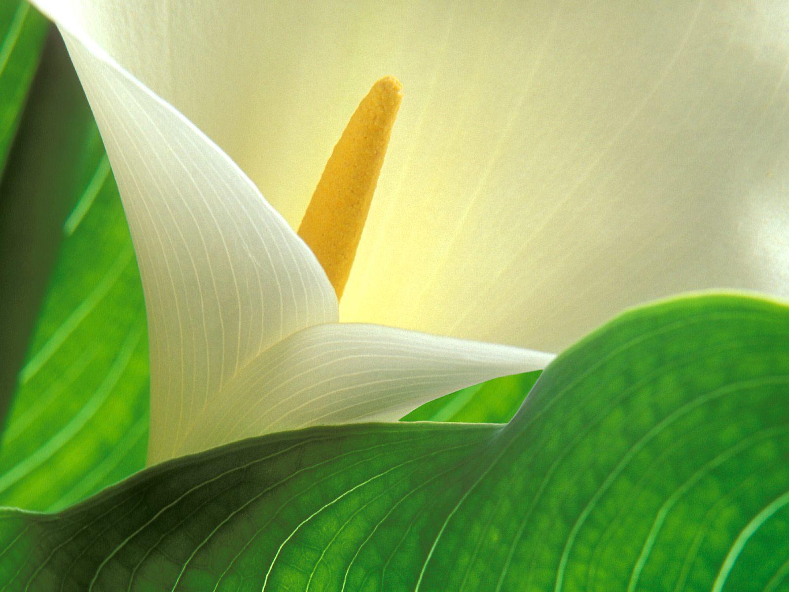 calla lilies 21016