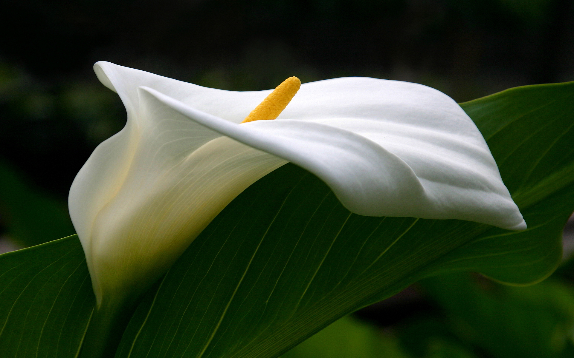 calla lilies images 21029