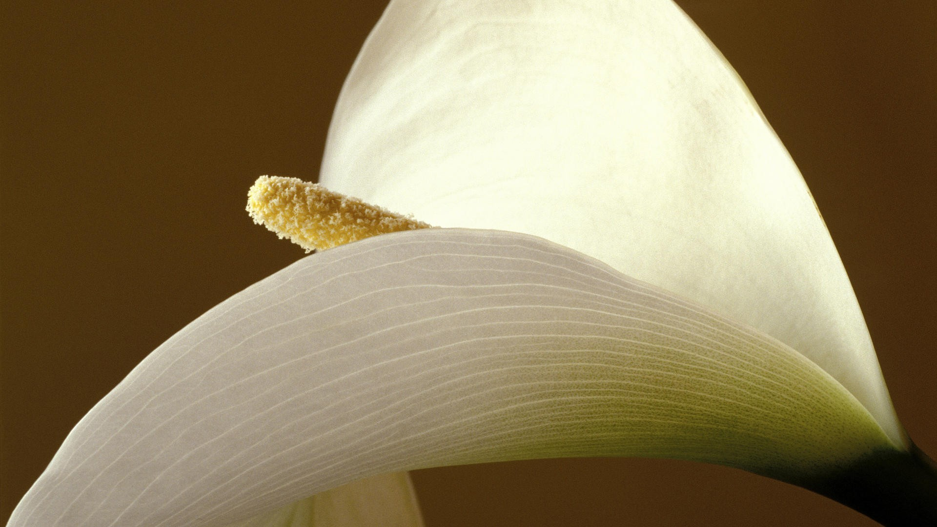 calla lilies pictures 21026