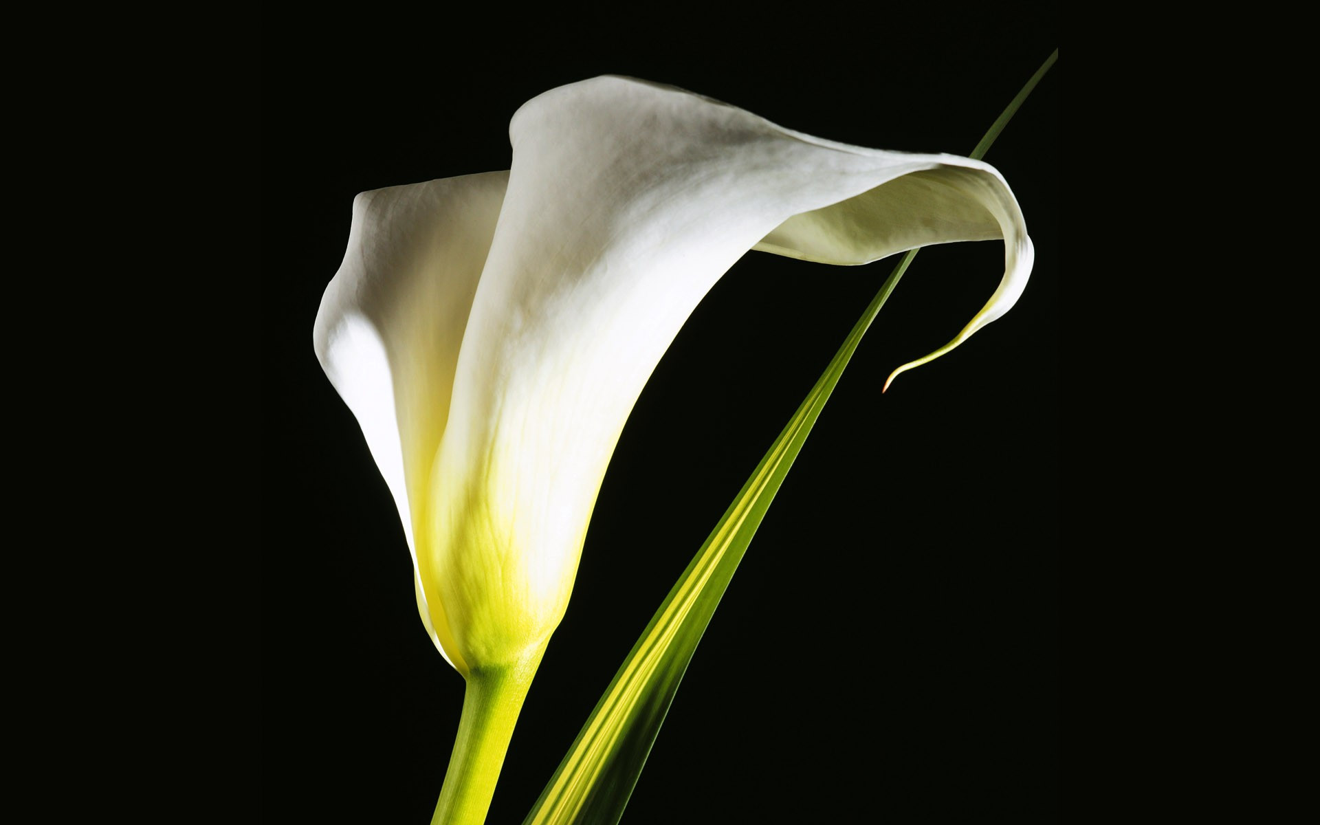 calla lilies pictures 21027