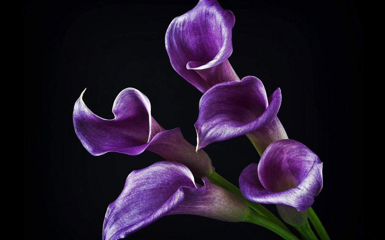 calla lilies wallpaper 21019
