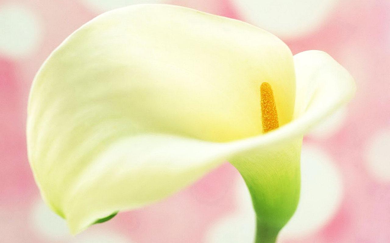 calla lilies wallpaper 21021