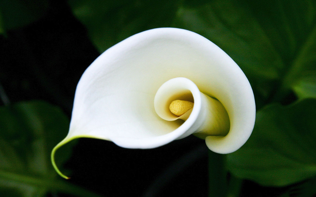 Calla lilies wallpaper 21022 1280x800 px hdwallsource calla lilies wallpaper 21022 izmirmasajfo Image collections