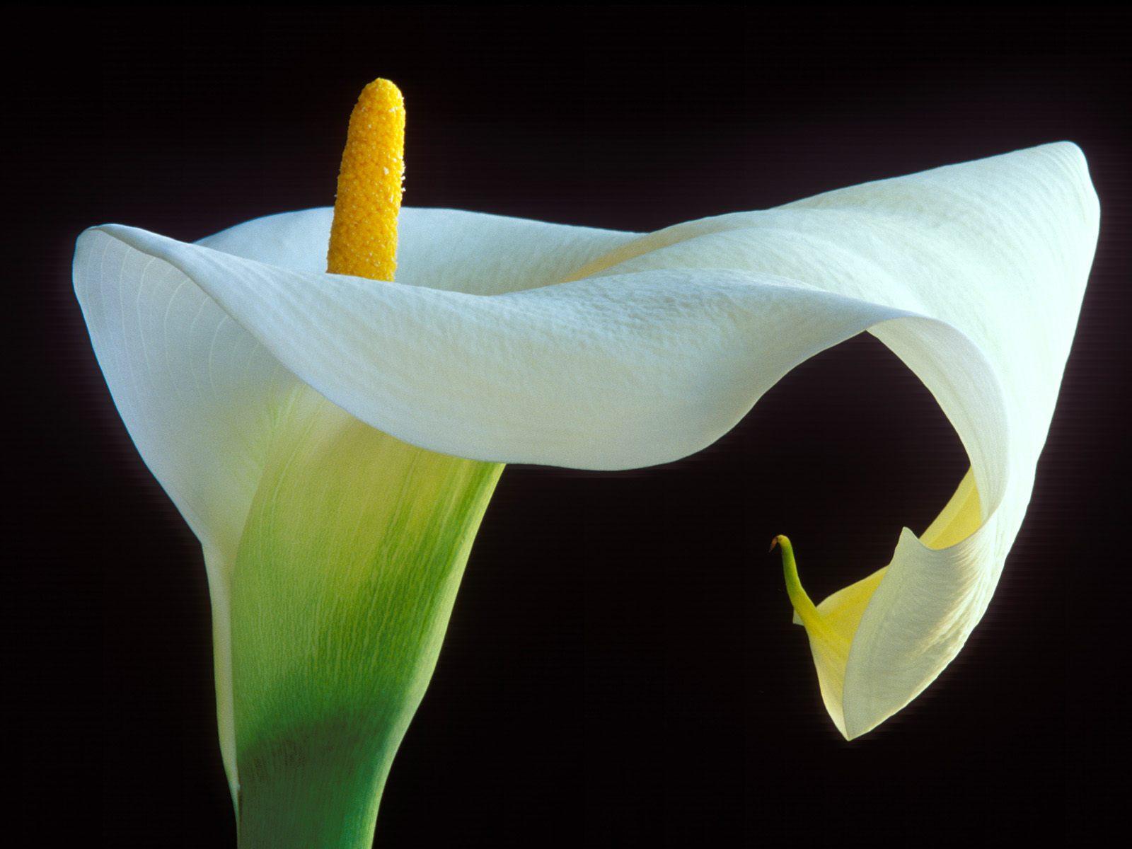 calla lilies wallpaper 21023
