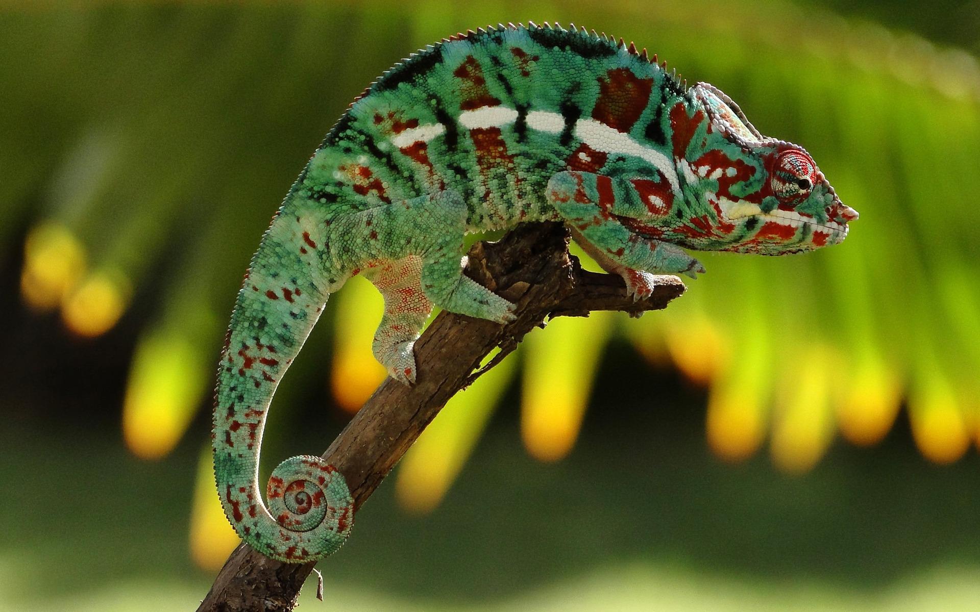 chameleon 23636