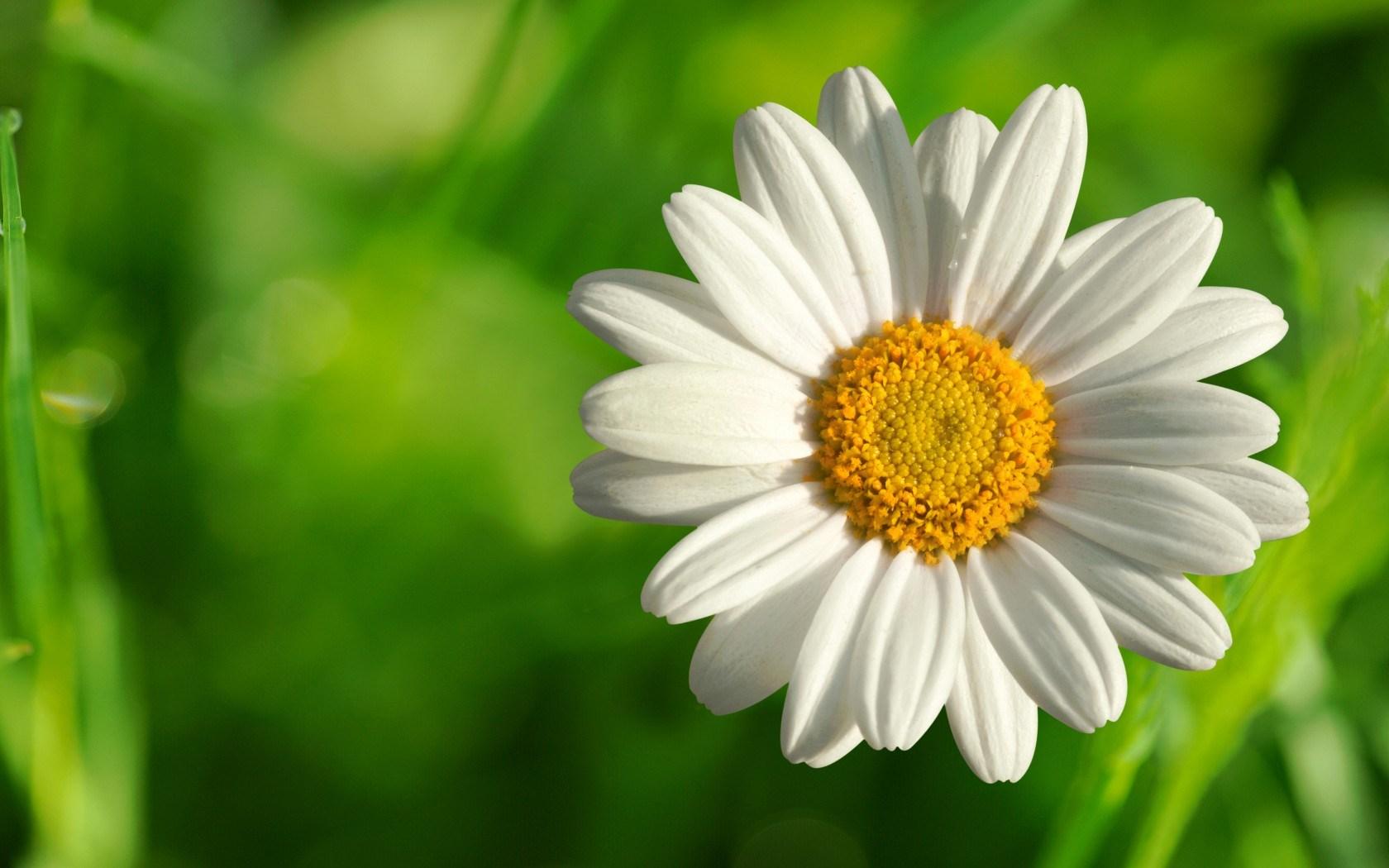 chamomile flowers 20224