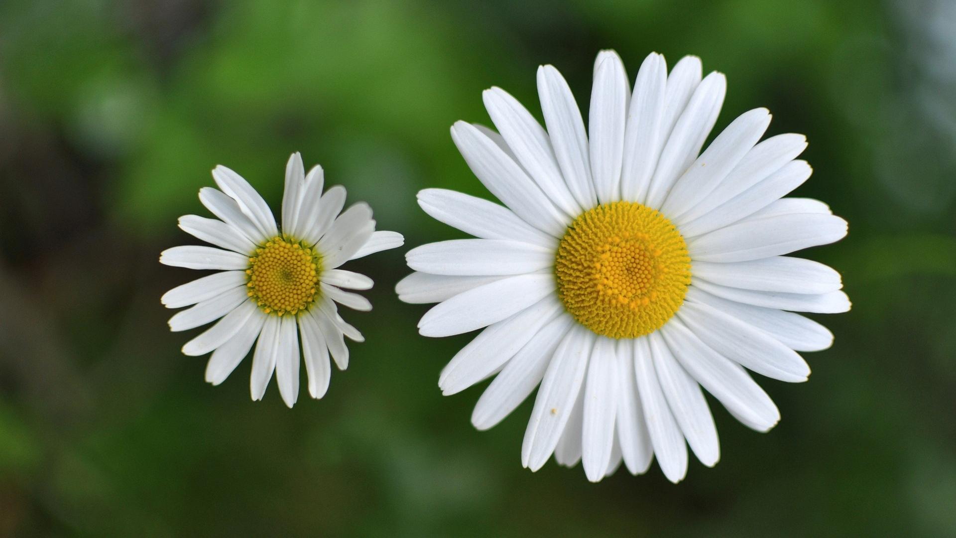 chamomile flowers 20236
