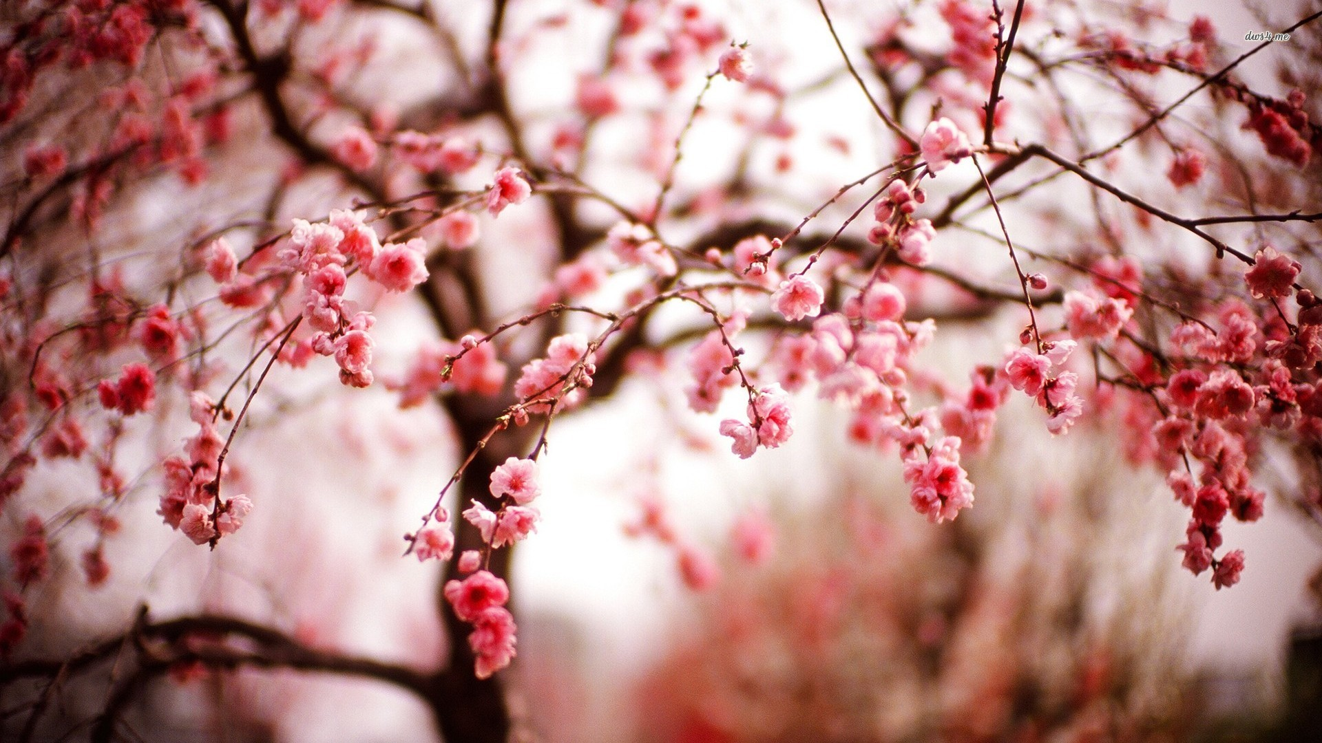Must see Wallpaper High Resolution Cherry Blossom - cherry-blossom-26871-27587-hd-wallpapers  Trends_28143.jpg