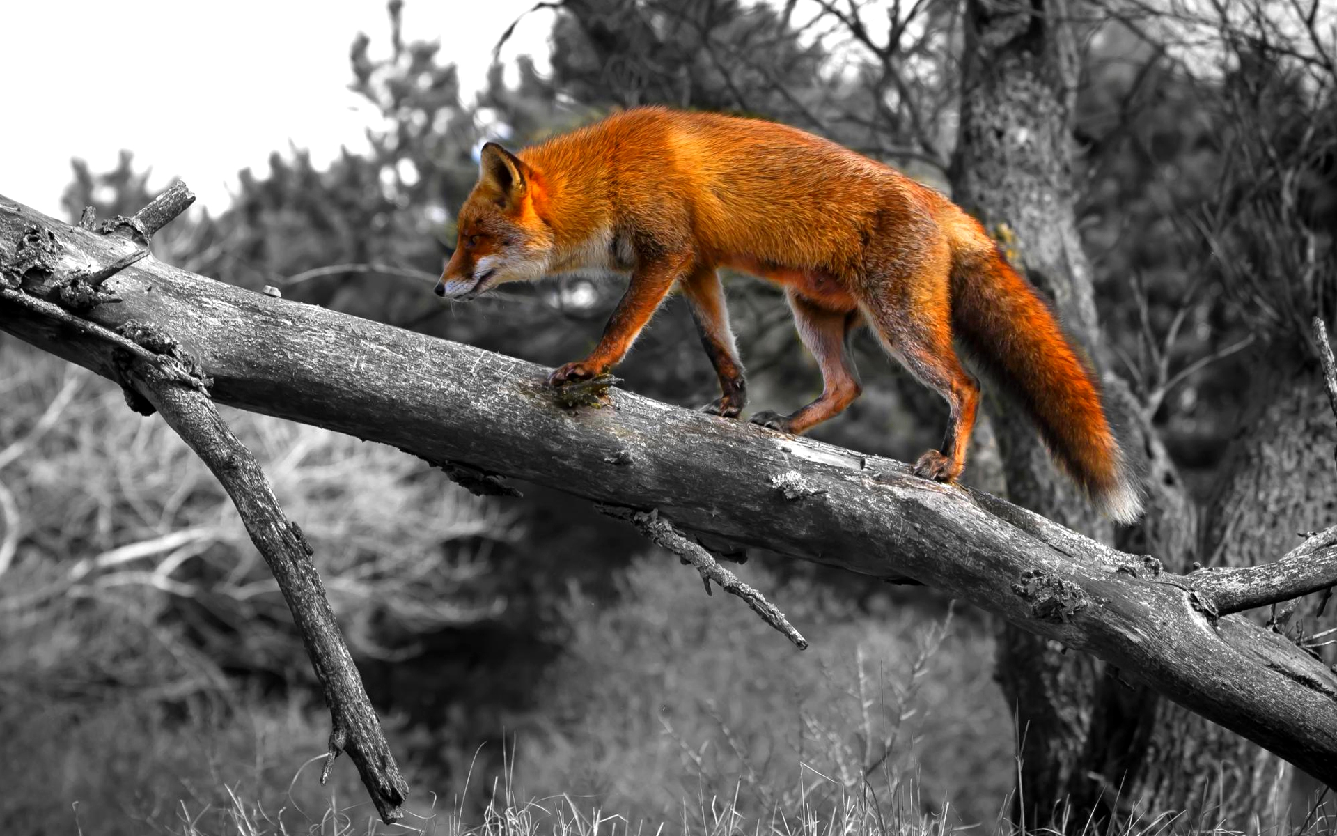 cool fox wallpaper 41578