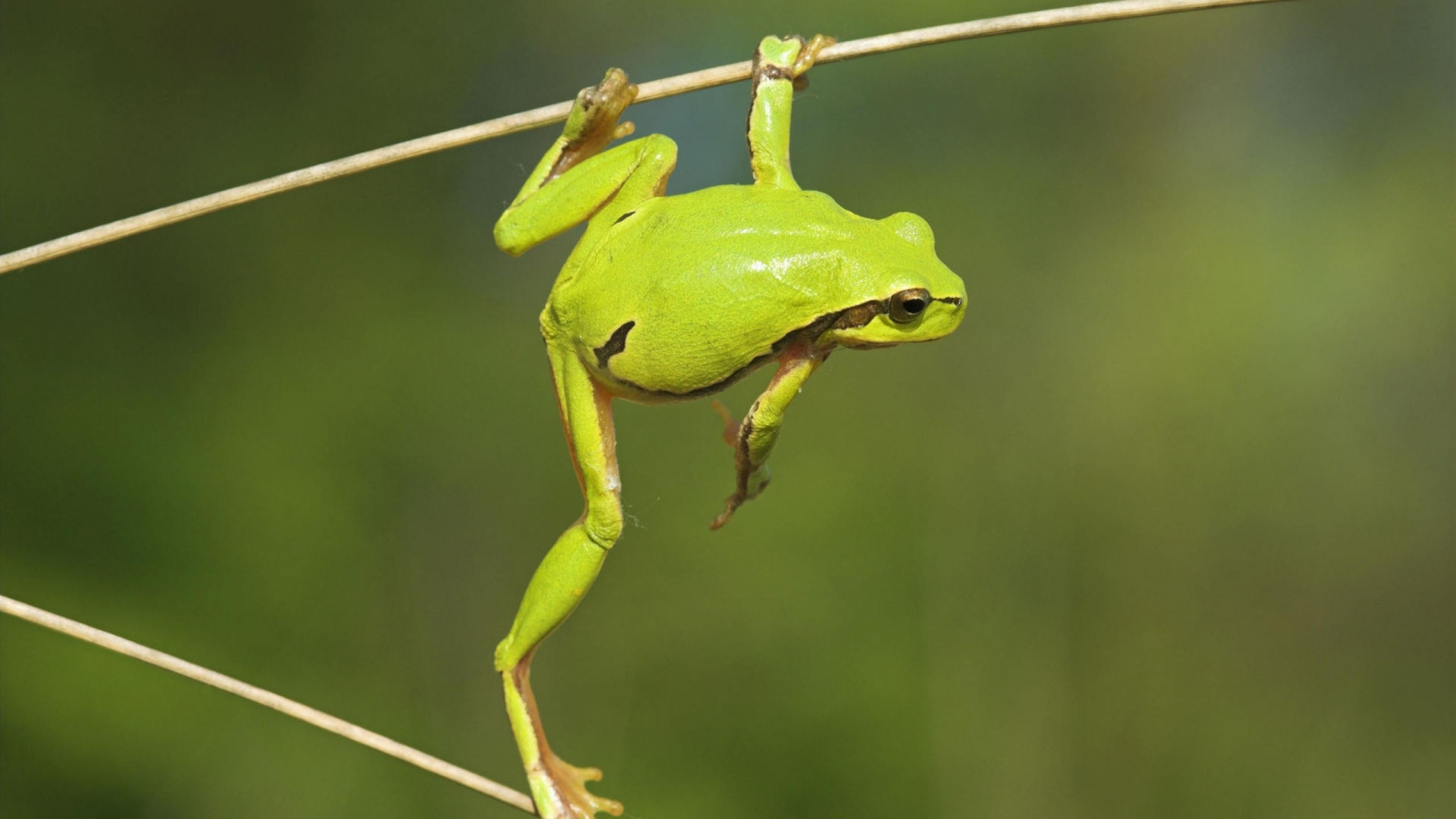 cool green frog wallpaper 33415