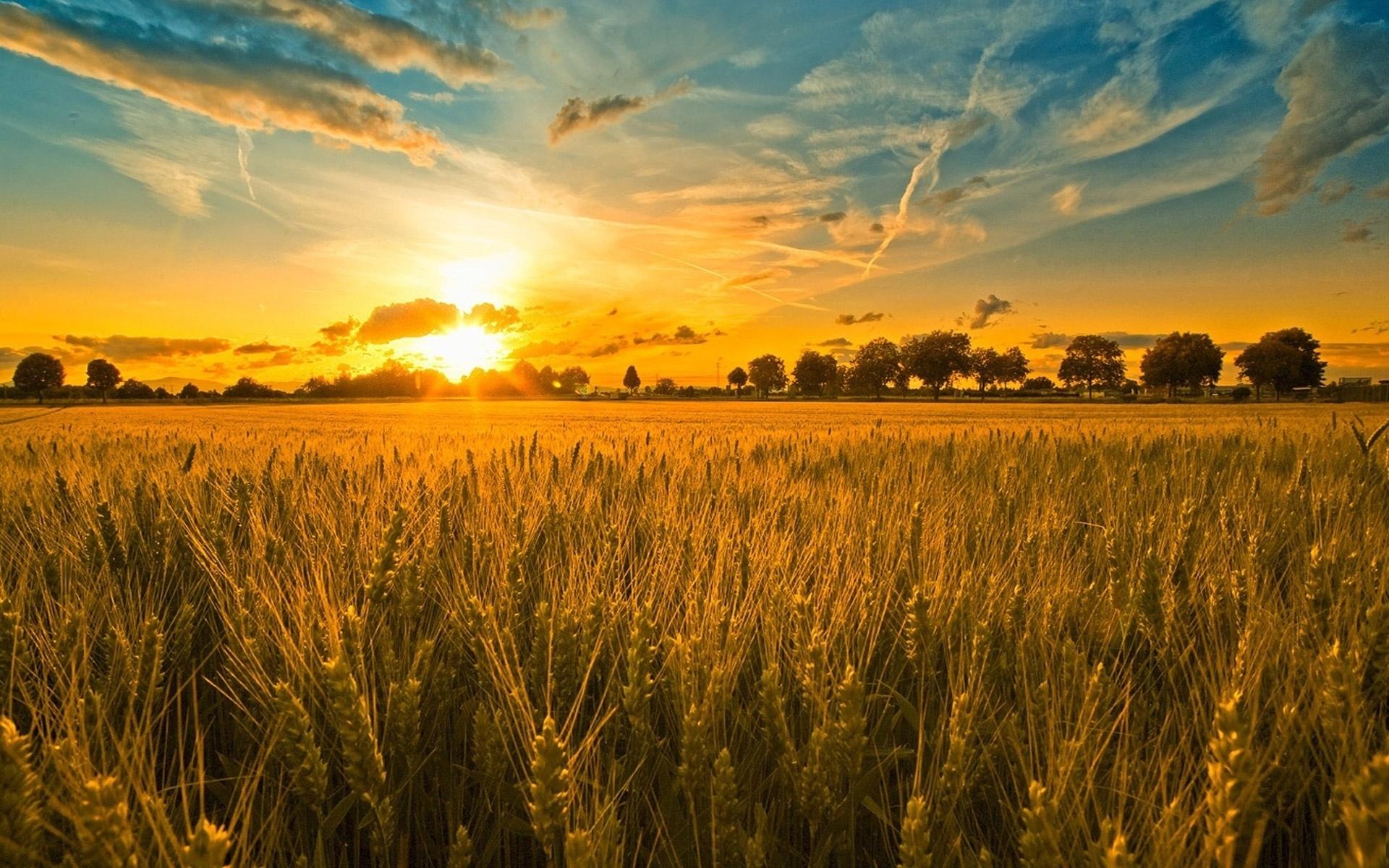 cornfield sunset 21316