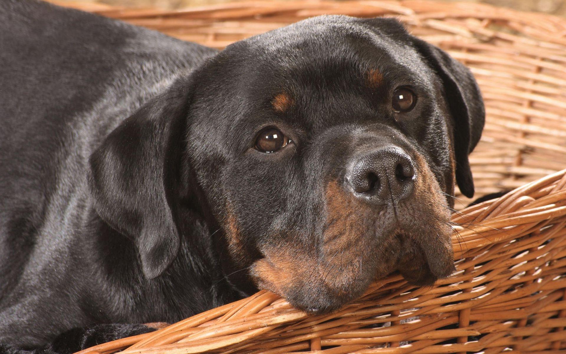 Cute Rottweiler Wallpaper 38272 1920x1200 px ...