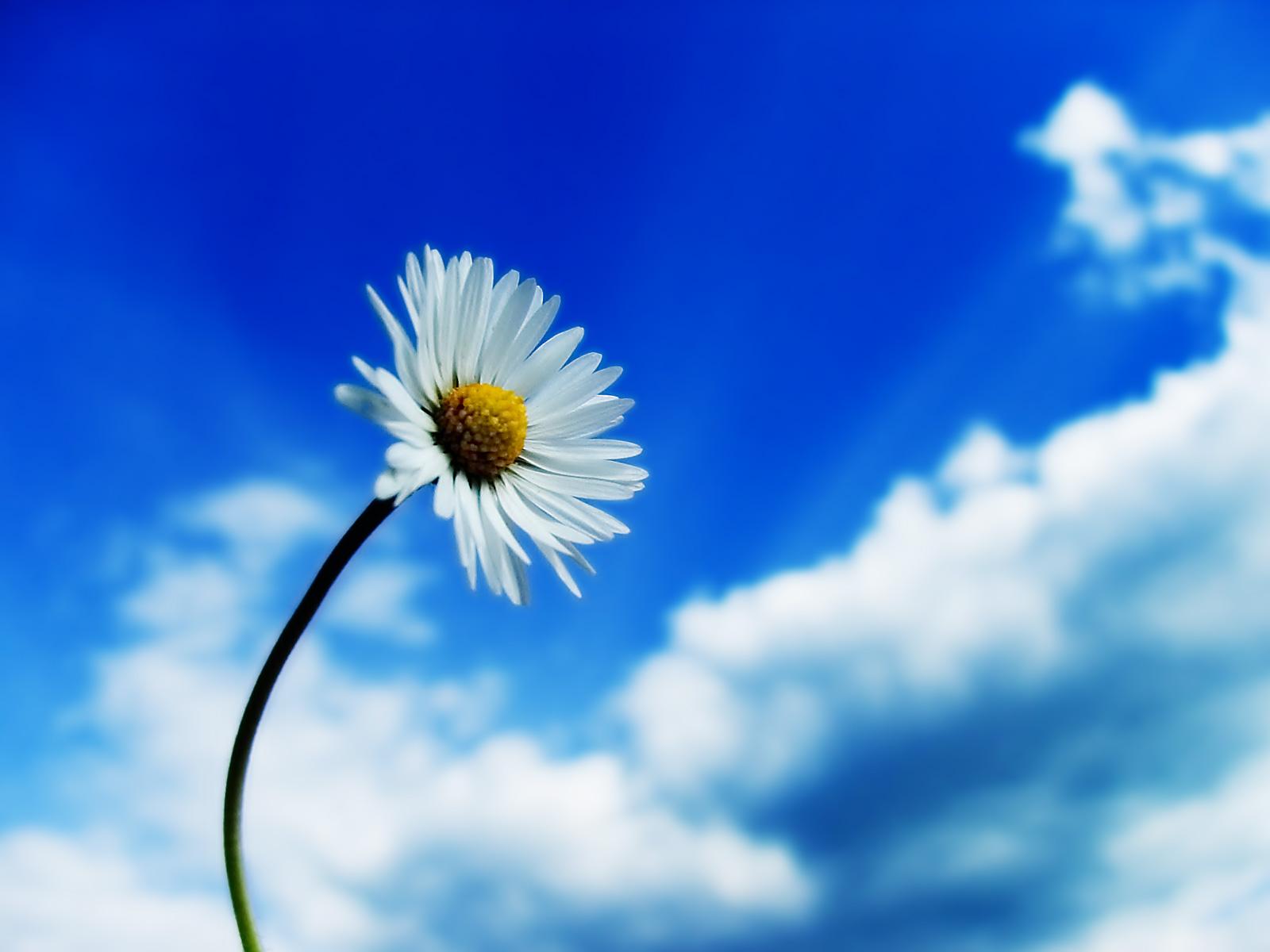 daisy wallpaper 22185