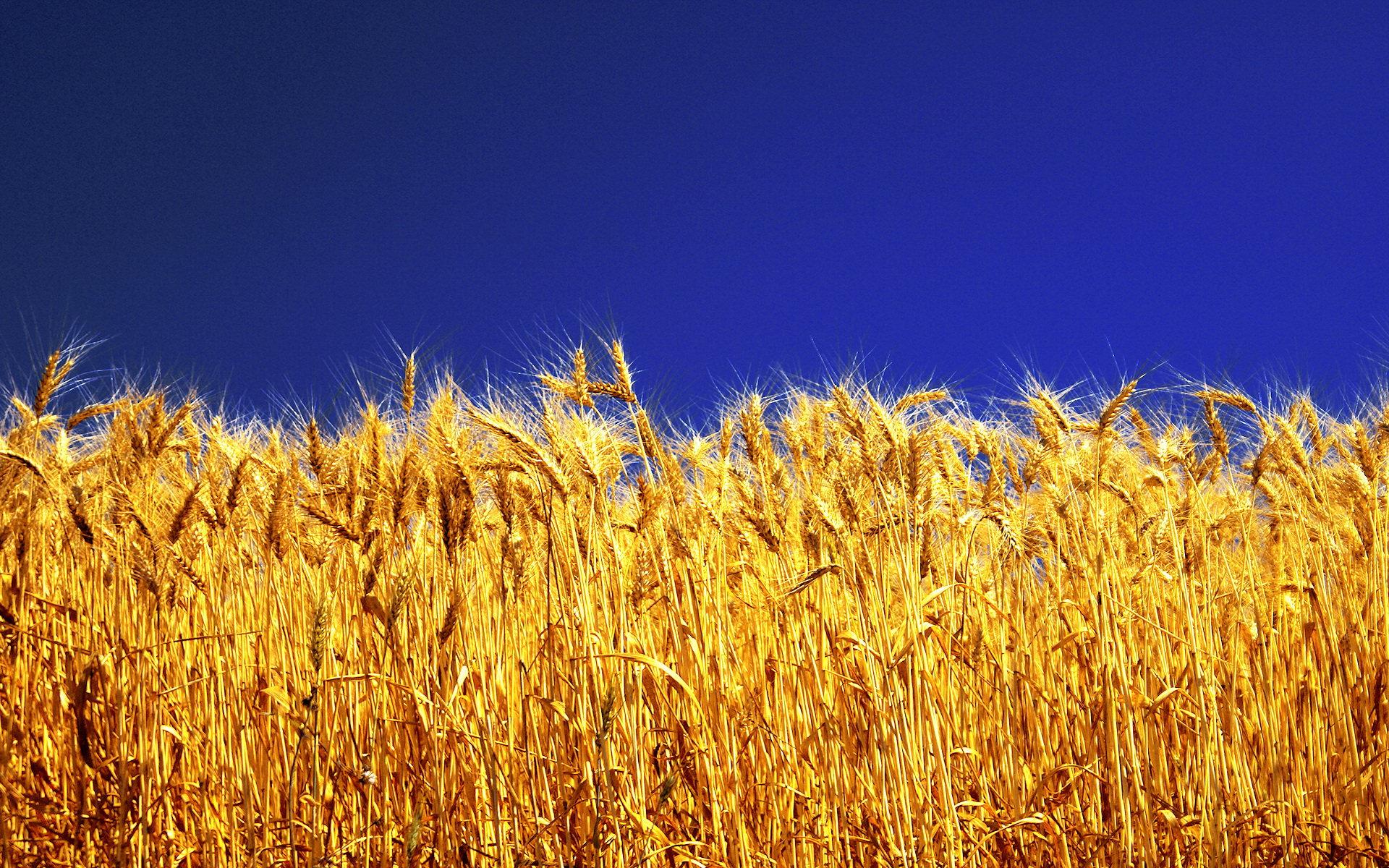 free barley wallpaper 35385