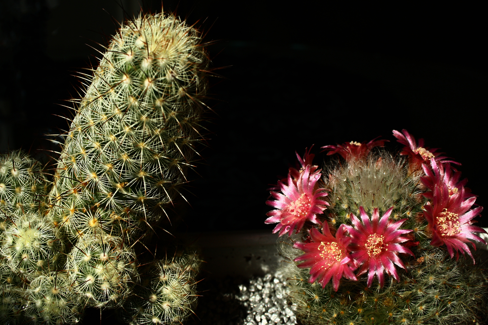 free cactus wallpaper 16606