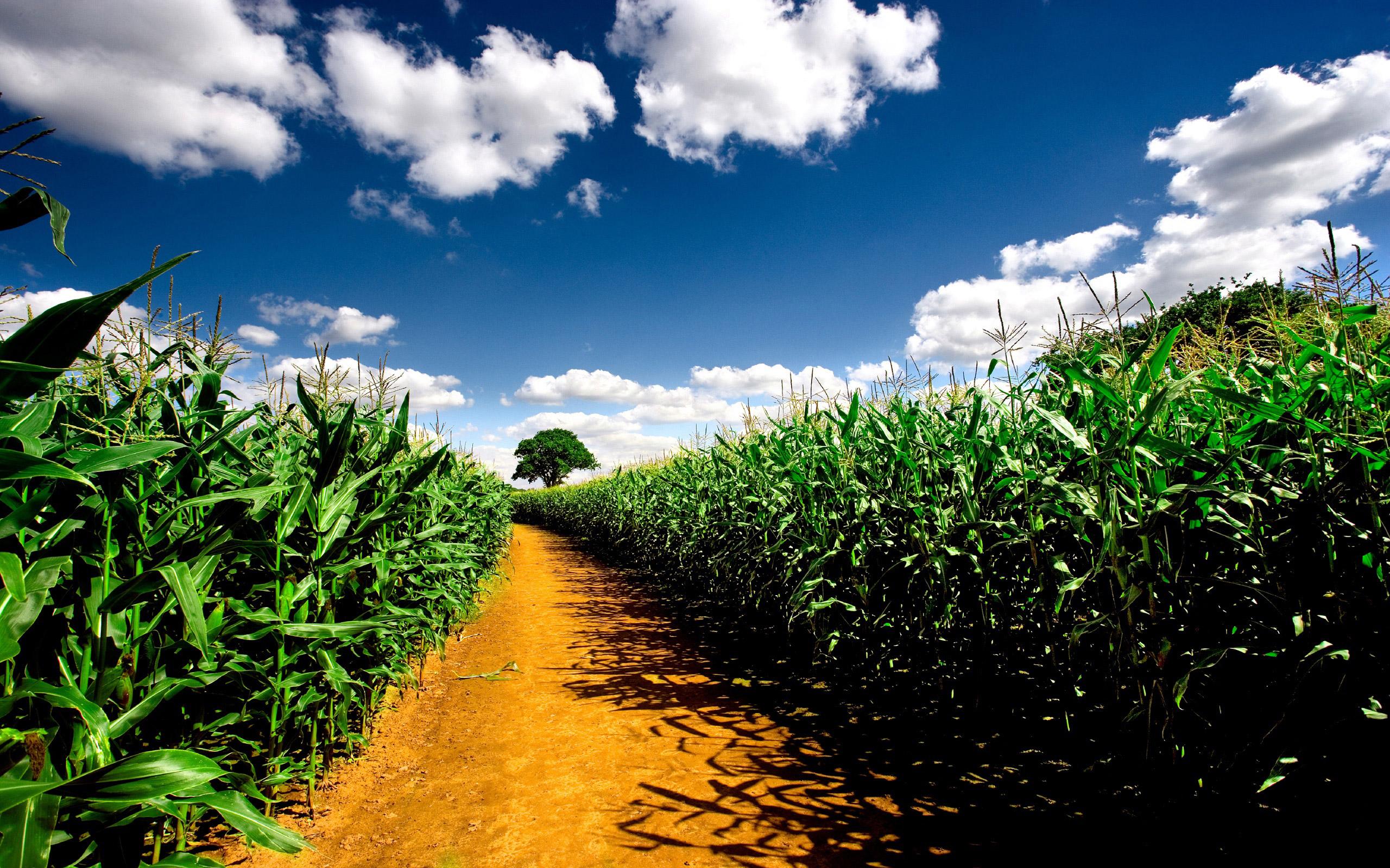 free cornfield wallpaper 21313