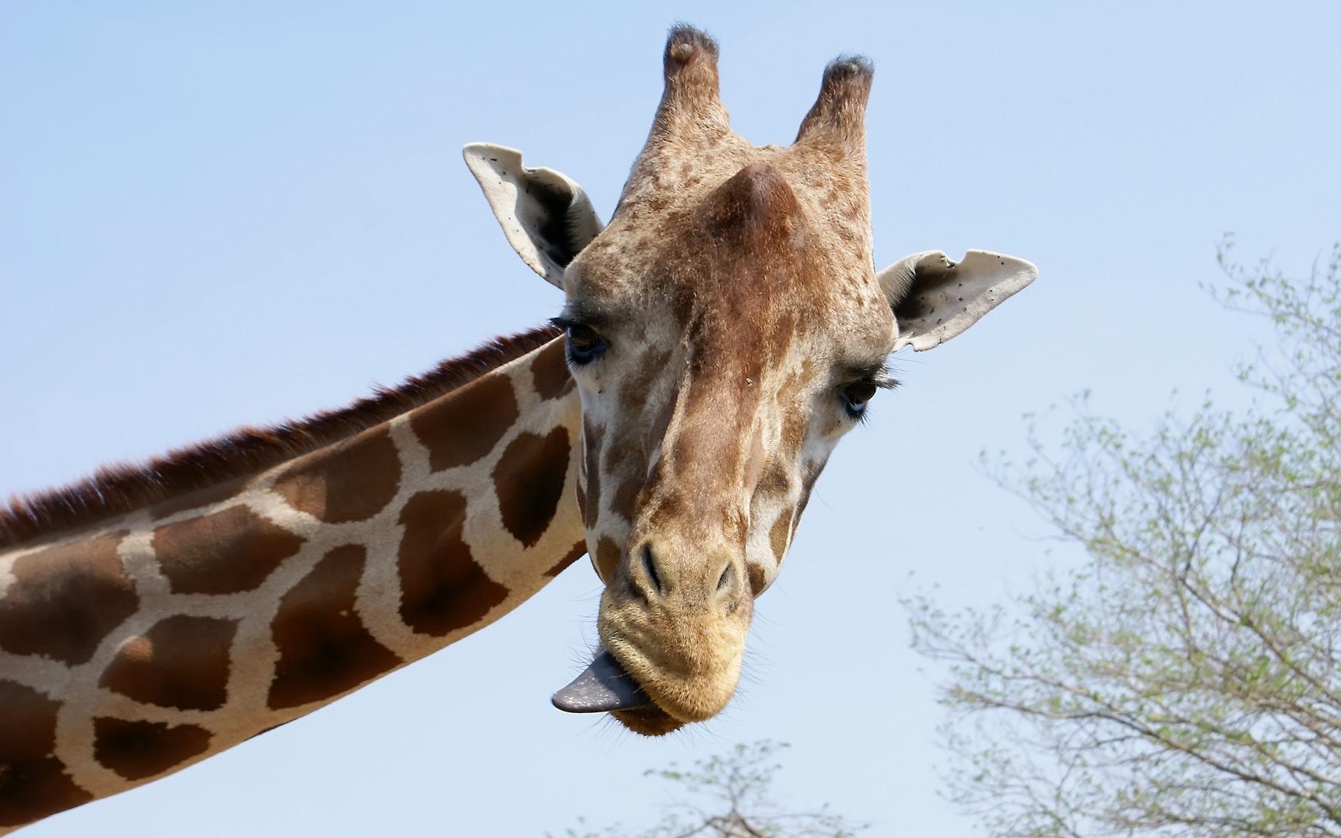giraffe wallpaper 11448