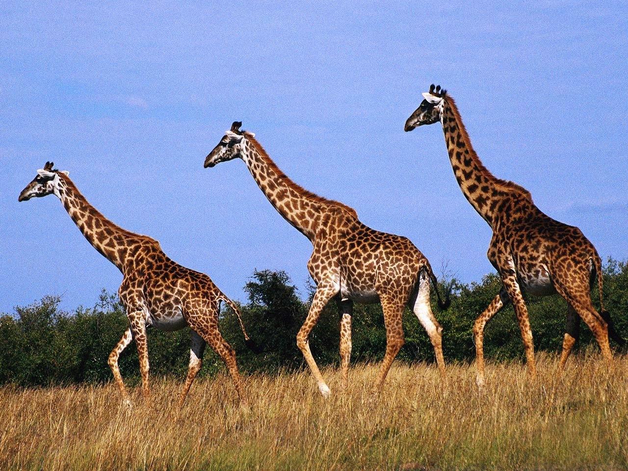 giraffe wallpaper 11449