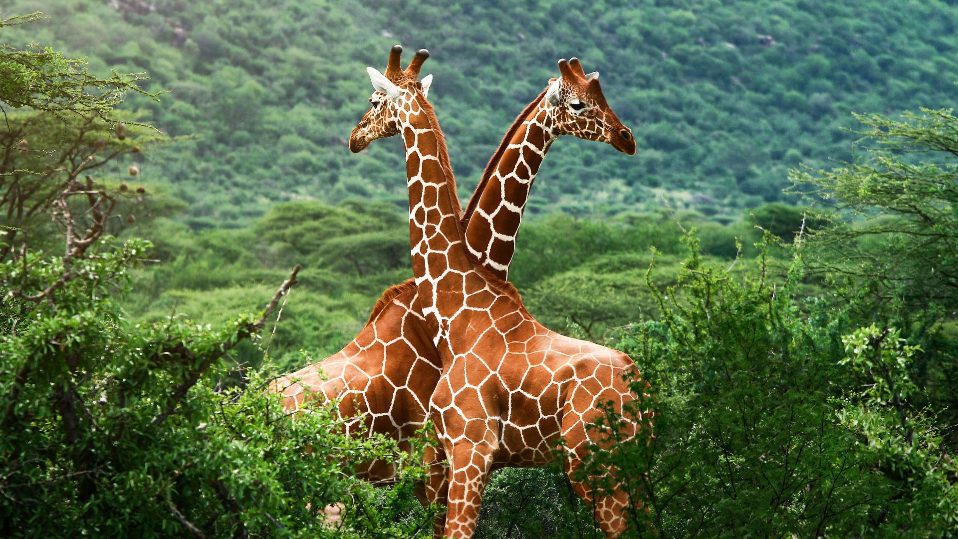 giraffe wallpaper 11453