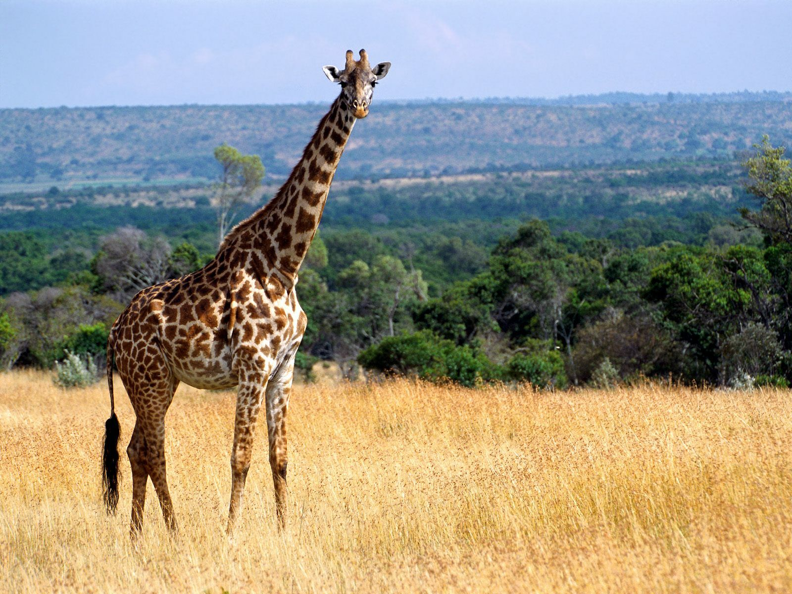 giraffe wallpaper 11455