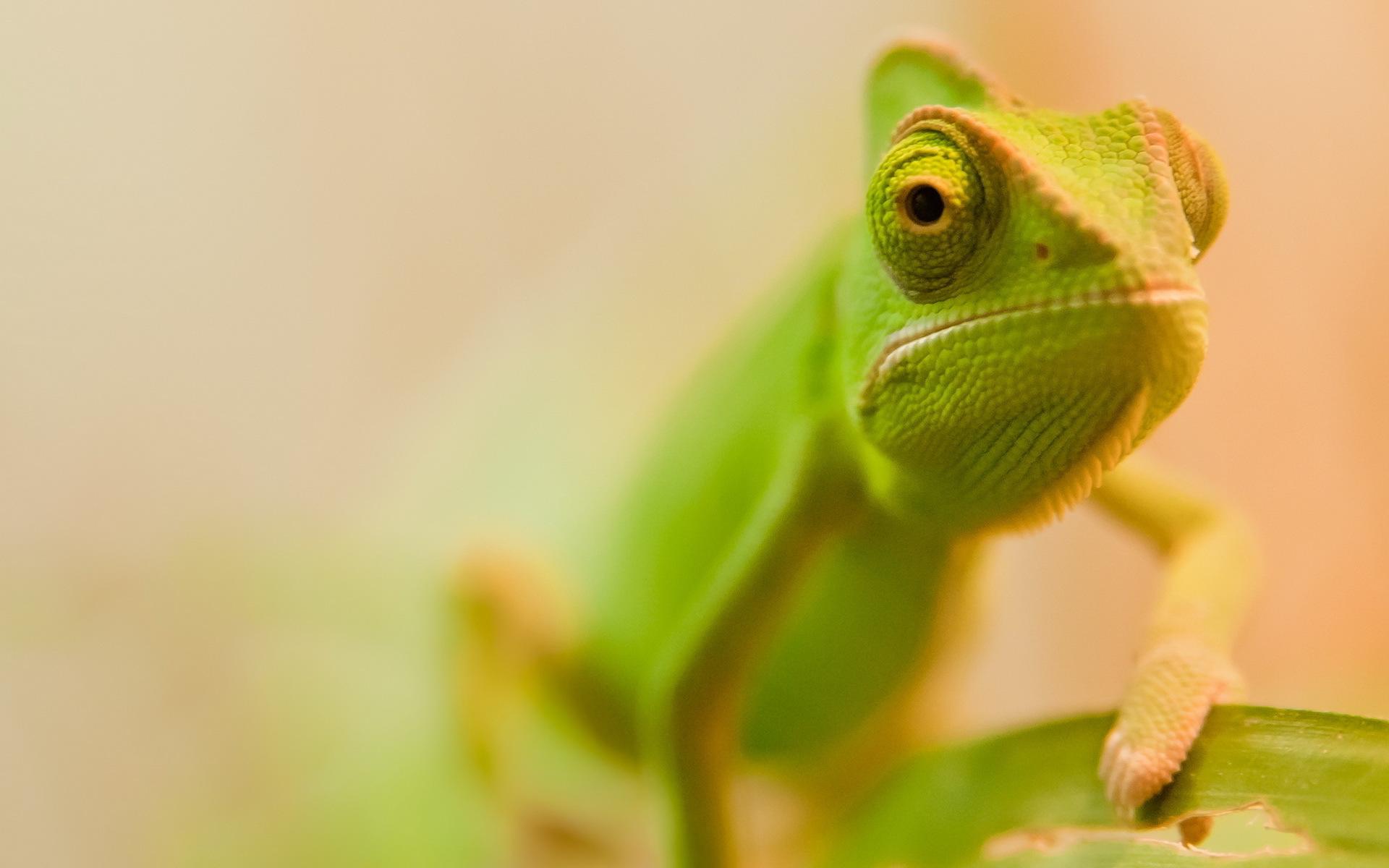 green chameleon 23642