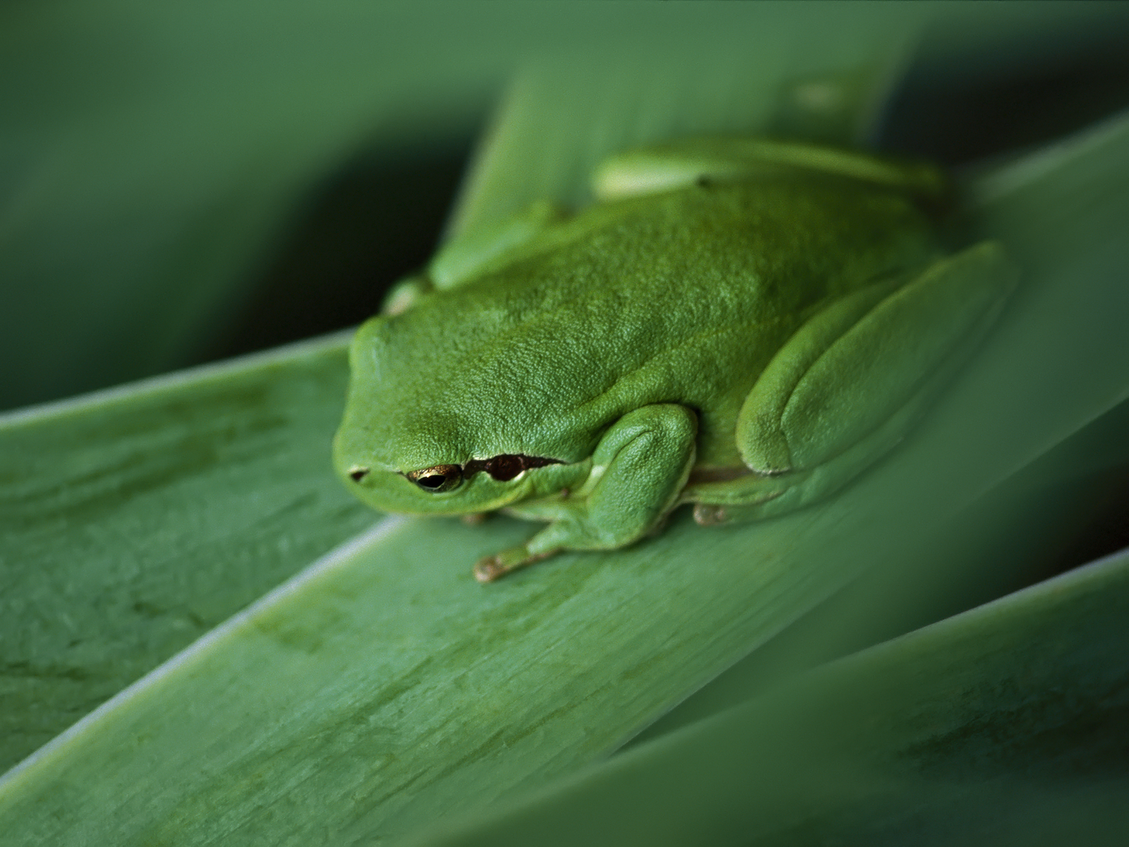 green frog pictures 33411