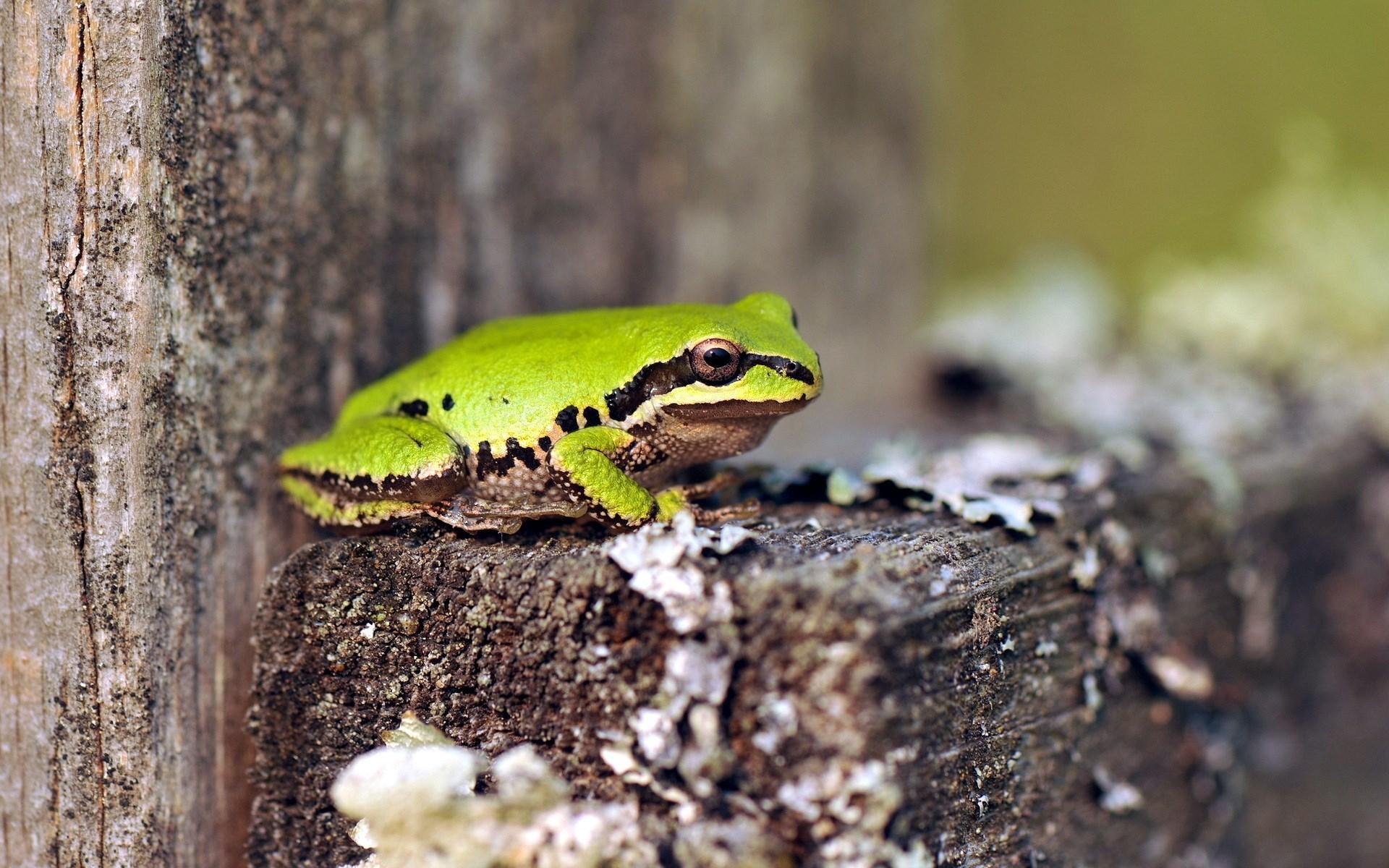 green frog wallpaper 33413