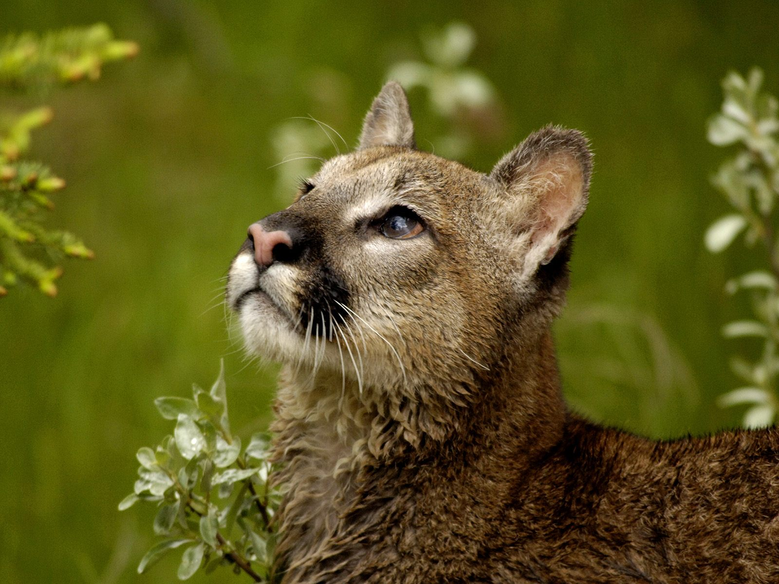 hd cougar wallpaper 24721