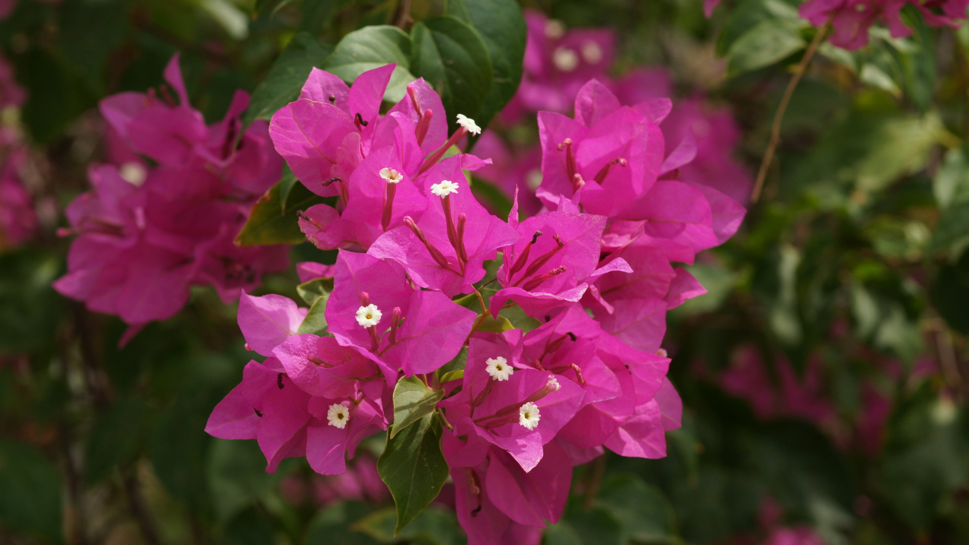 hot pink flowers 27841